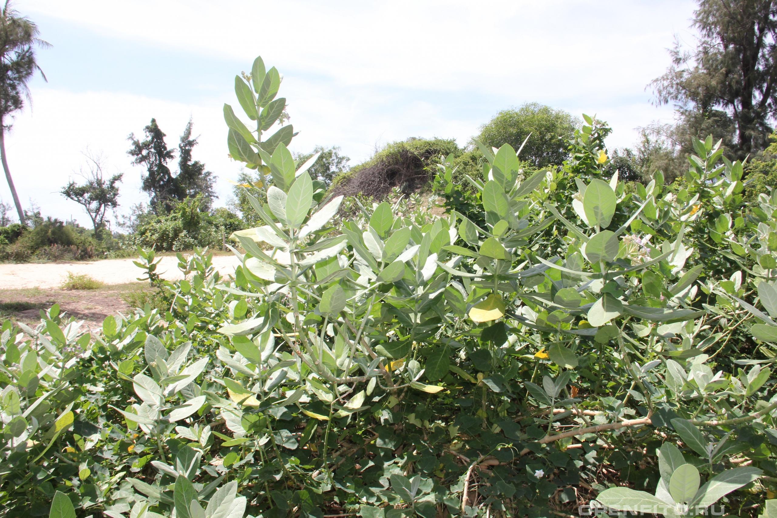 Калотропис гигантский тропическое растение