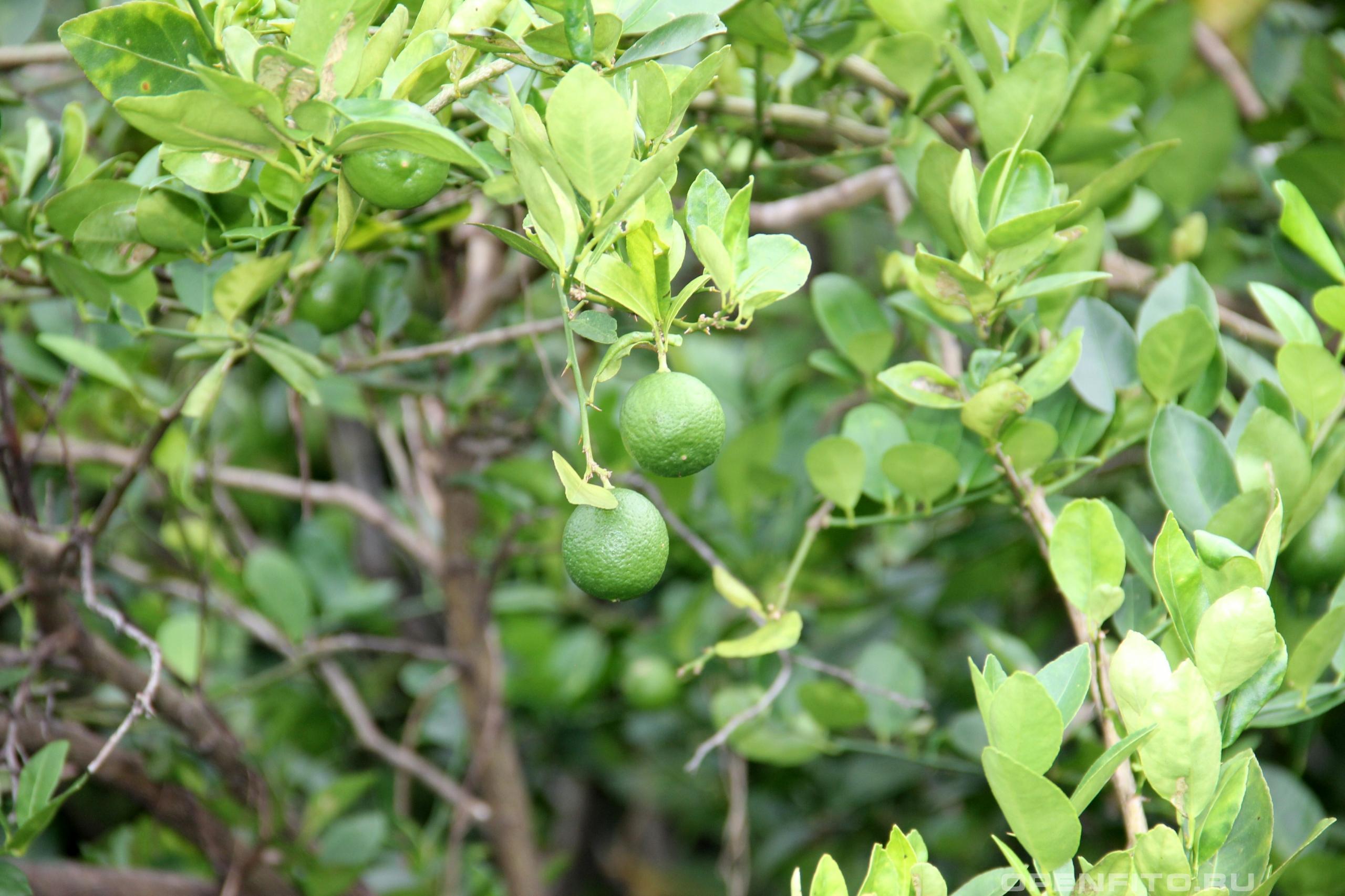 Цитрус лайм зрелые и очень ароматные плоды