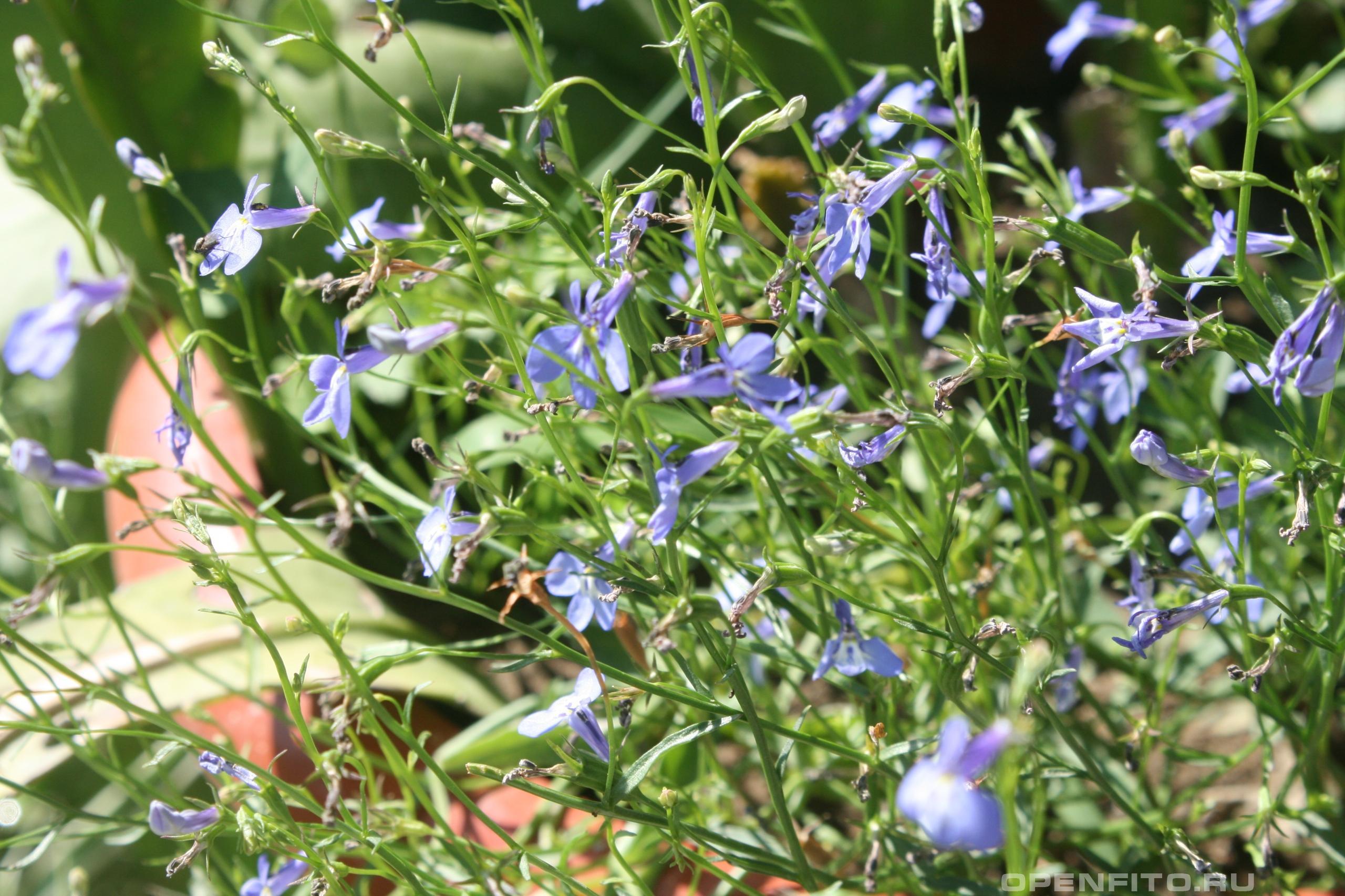 Лобелия ежевидная садовое растение