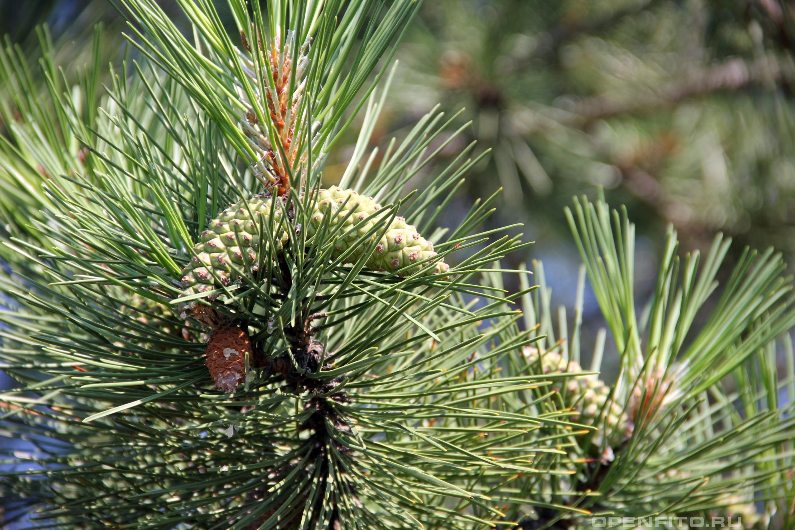 Сосна крымская незрелые зеленые шишки