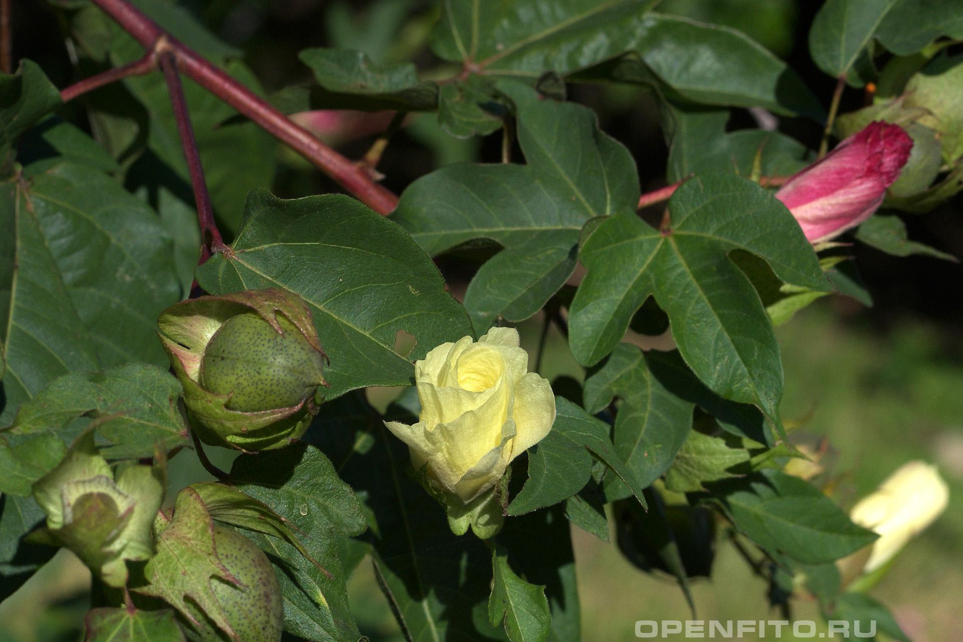 Хлопчатник обыкновенный листья с цветами и незрелыми плодами