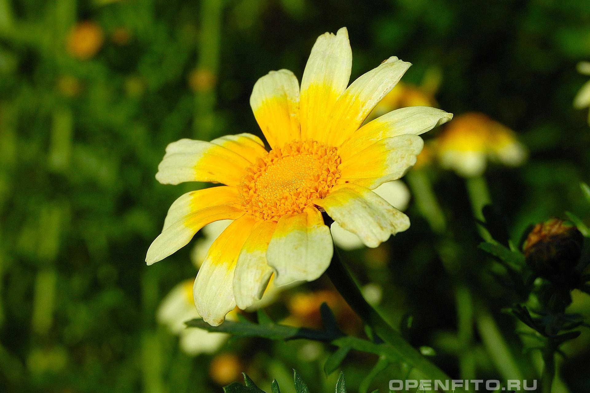 Златоцвет увенчаный или хризантема обыкновенная