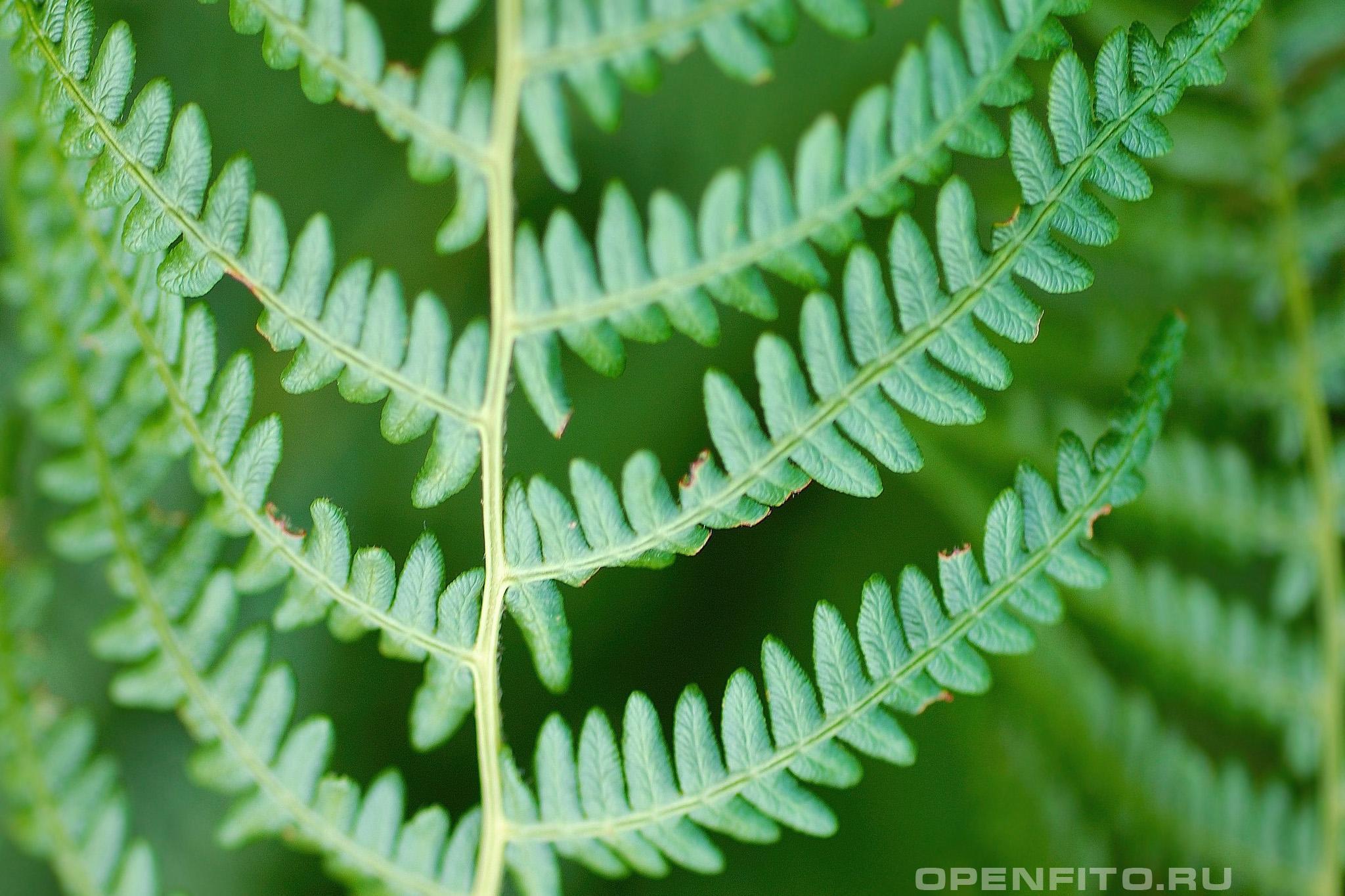 Орляк обыкновенный лист крупным планом