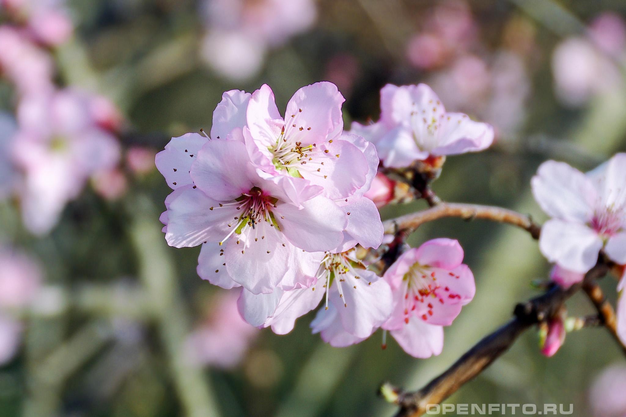 Персик обыкновенный розовые цветы
