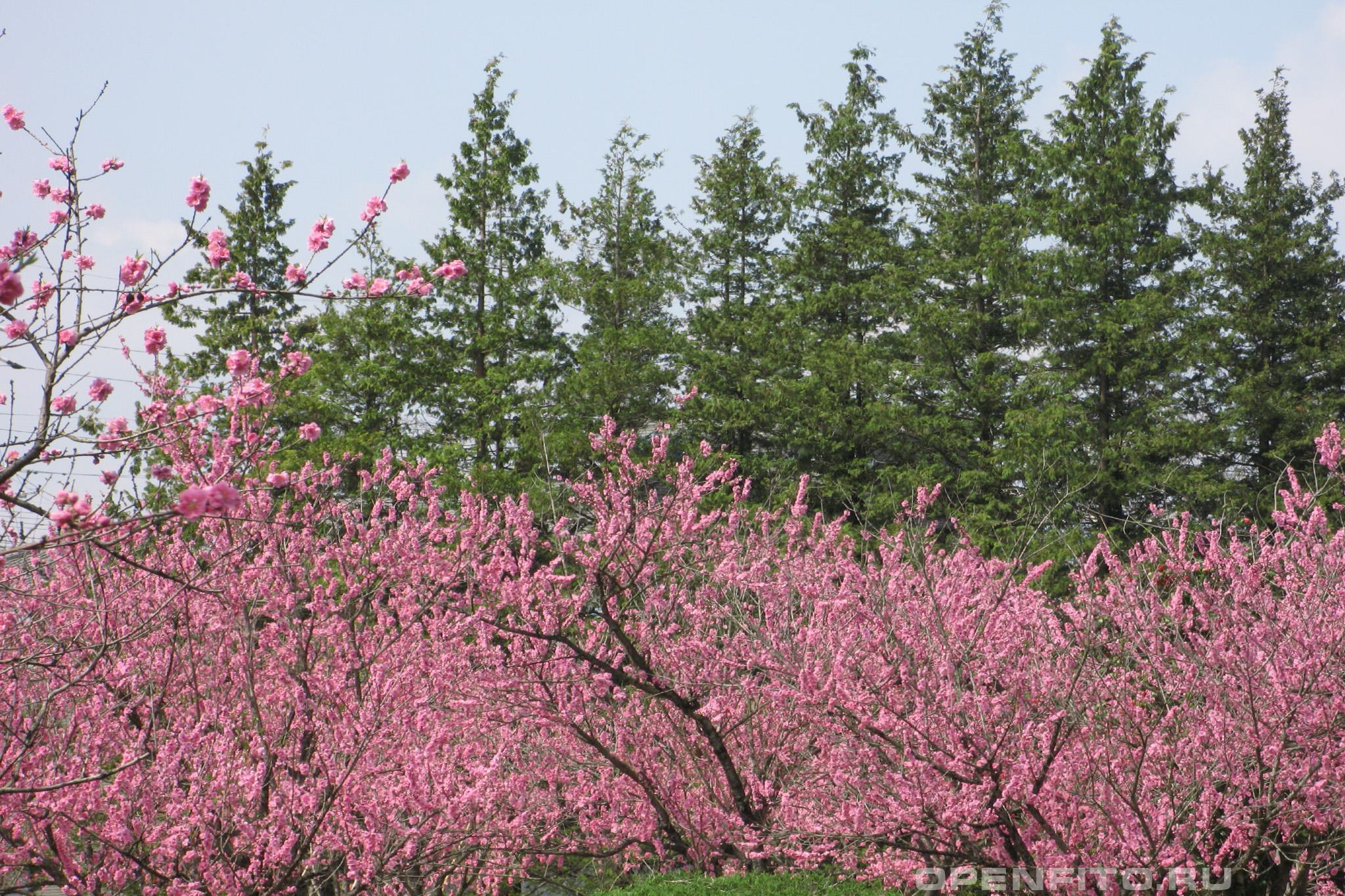 Персик обыкновенный плантация персиков