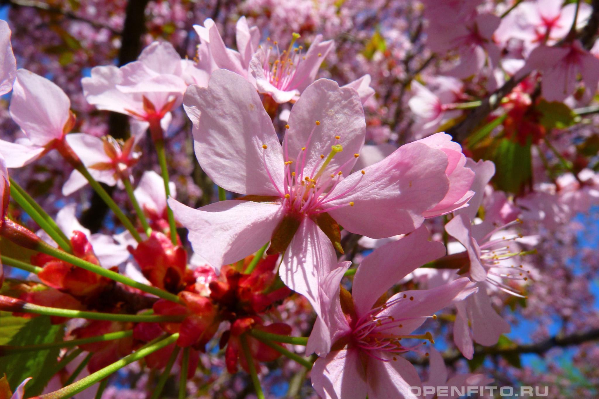 Слива вишненосная розовый цветок алычи (мирабель)