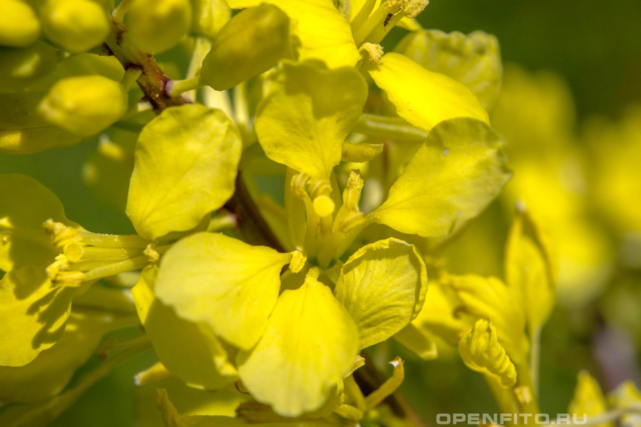 Репа огородная цветок
