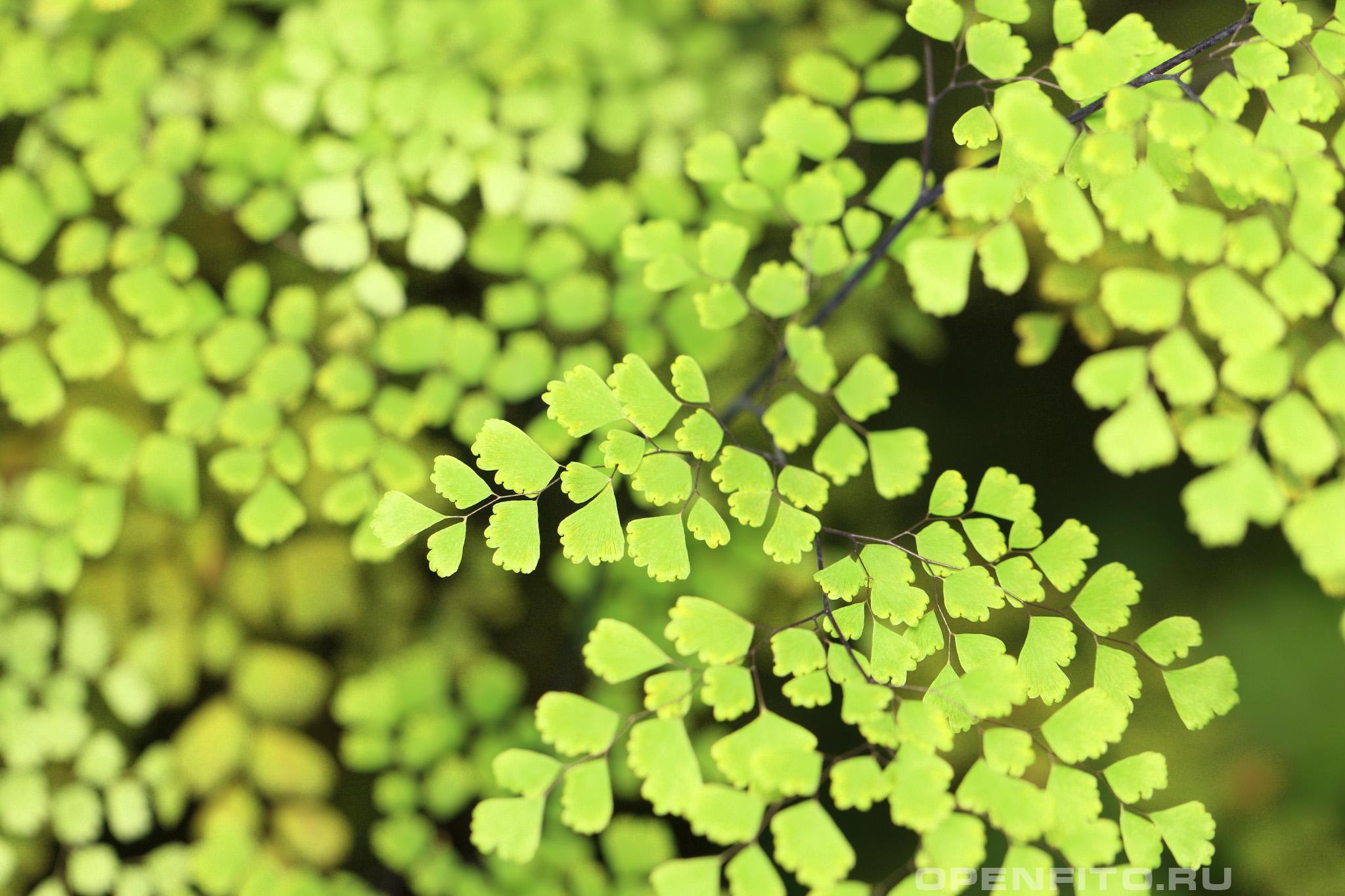 Адиантум венерин волос скромное, но очень красивое растений
