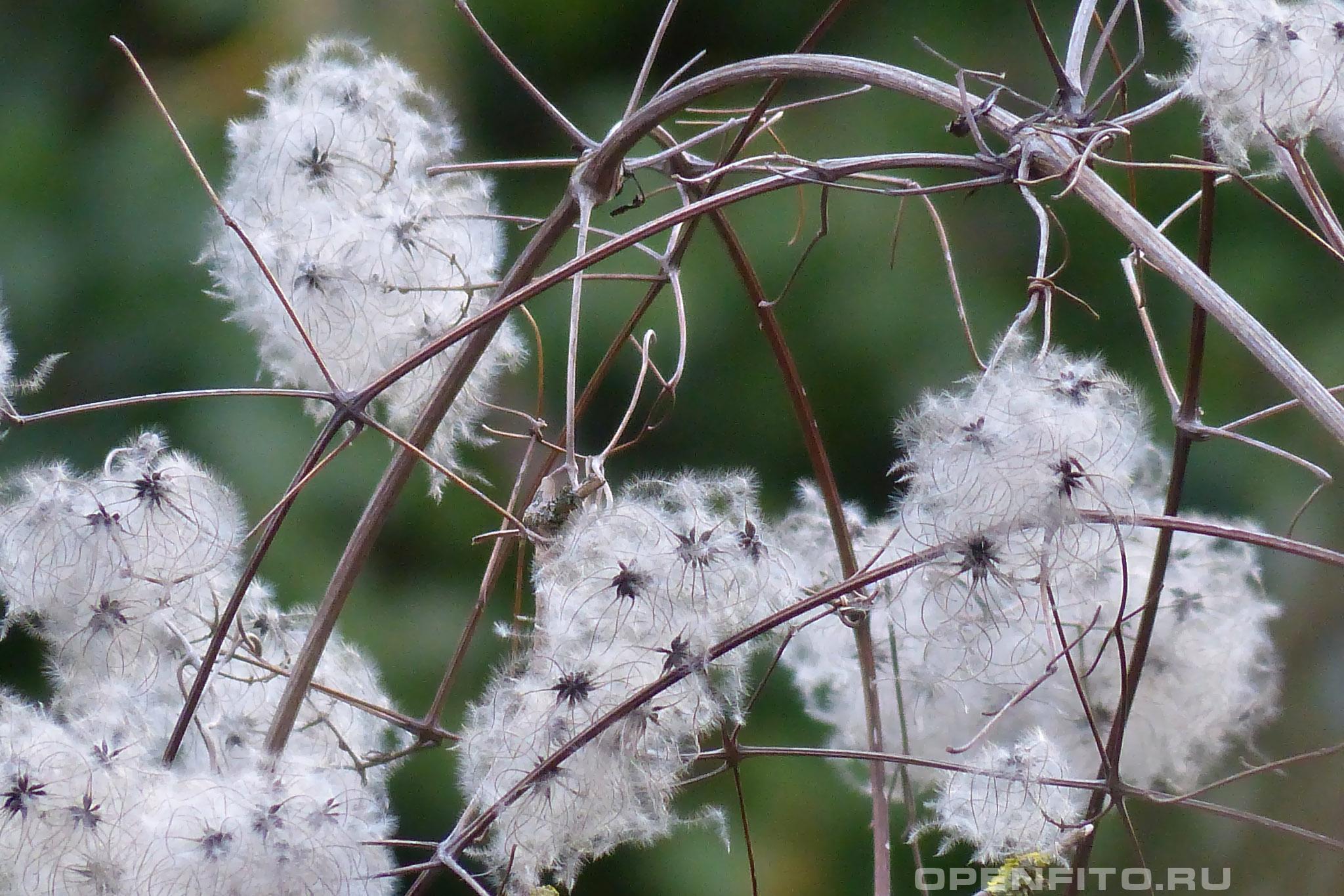 Ломонос виноградолистный стебли с семенами