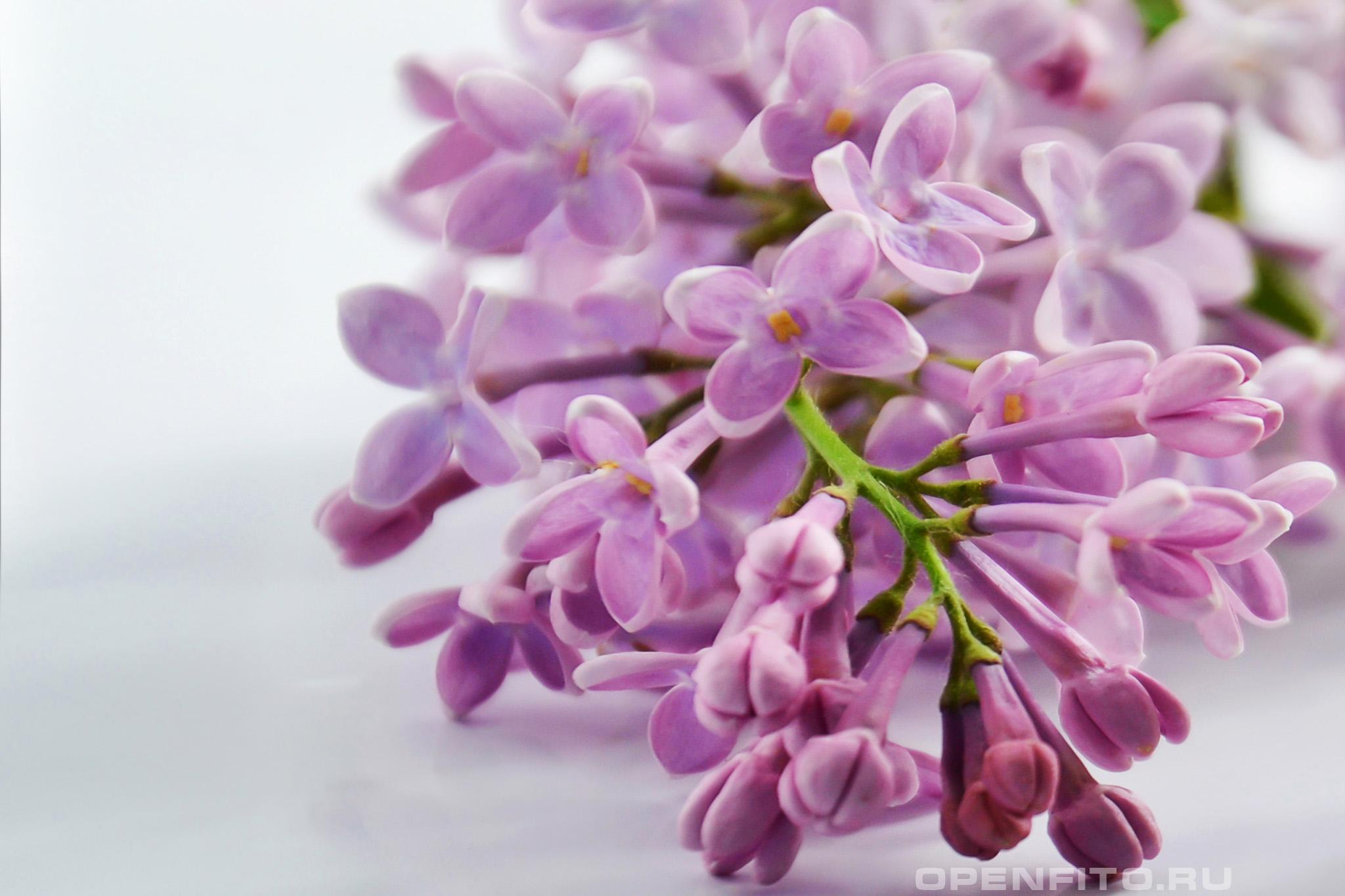 Сирень цветок сирени