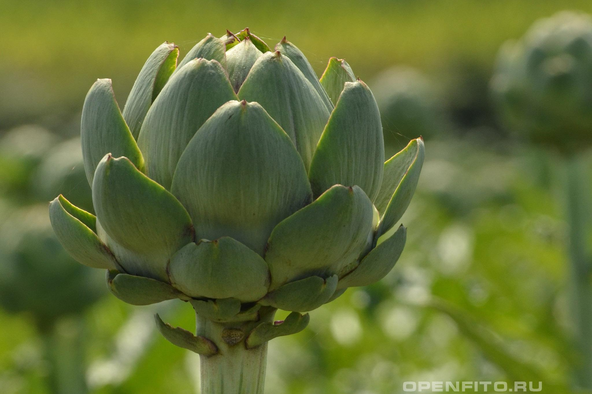 Артишок посевной бутон растения, именно эта часть растения употребляется в пищу