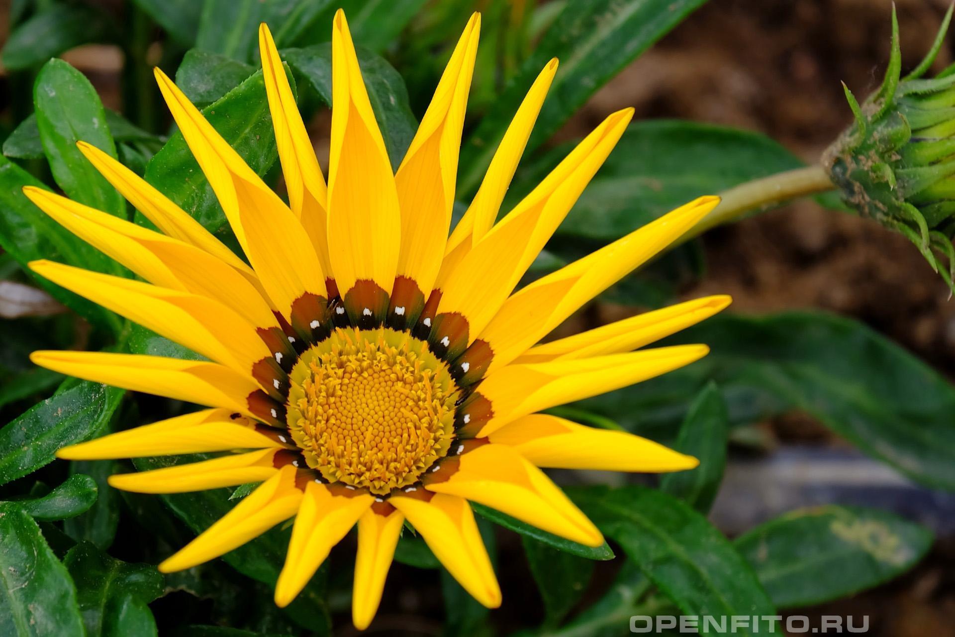 Газания жестковатая цветки довольно быстро могут открываться на свету и закрываться в тени