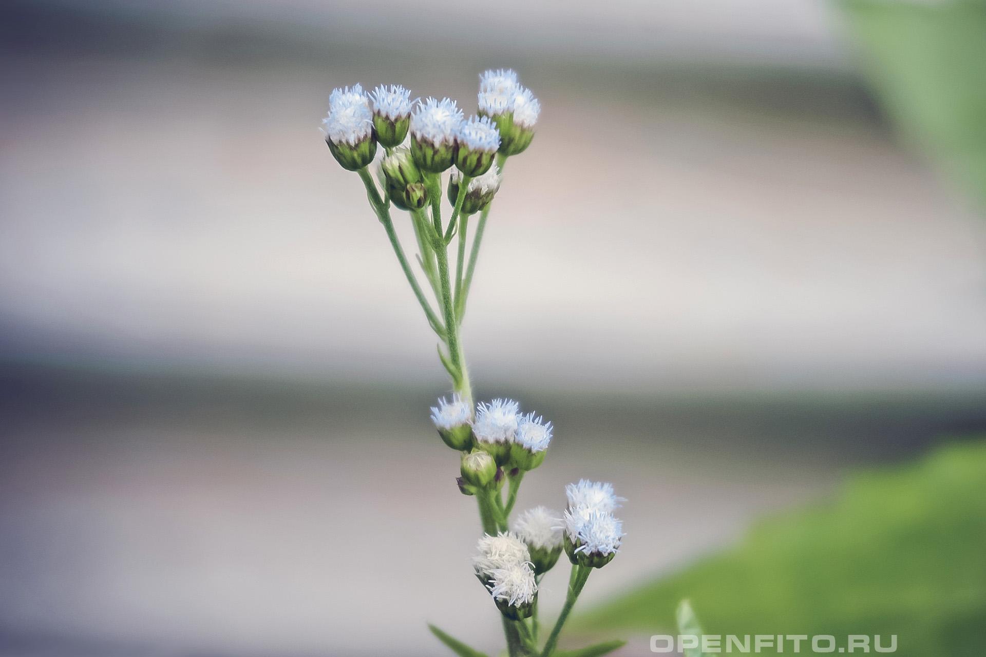 Агератум конизовидный соцветие