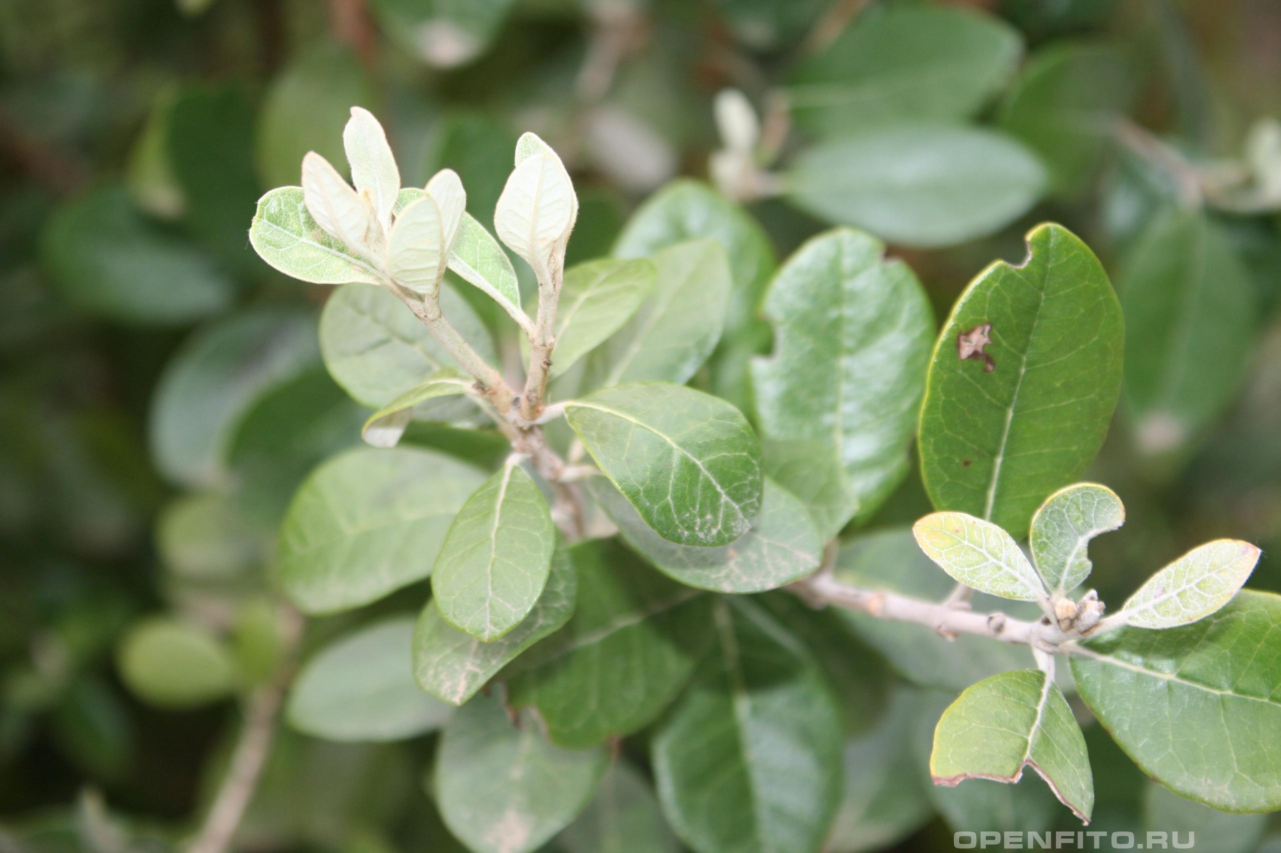 Фейхоа Селлова листья
