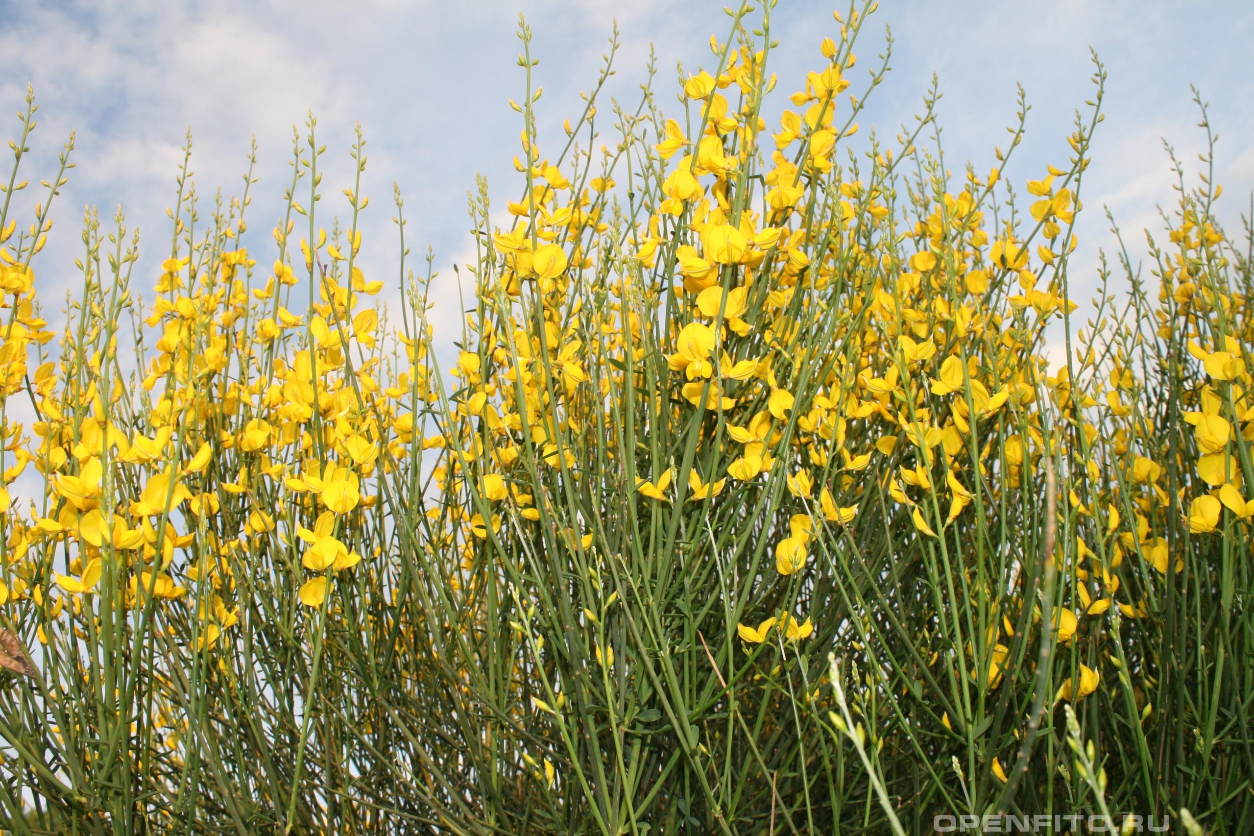 Метельник ситниковый <p>цветущее растение</p>
