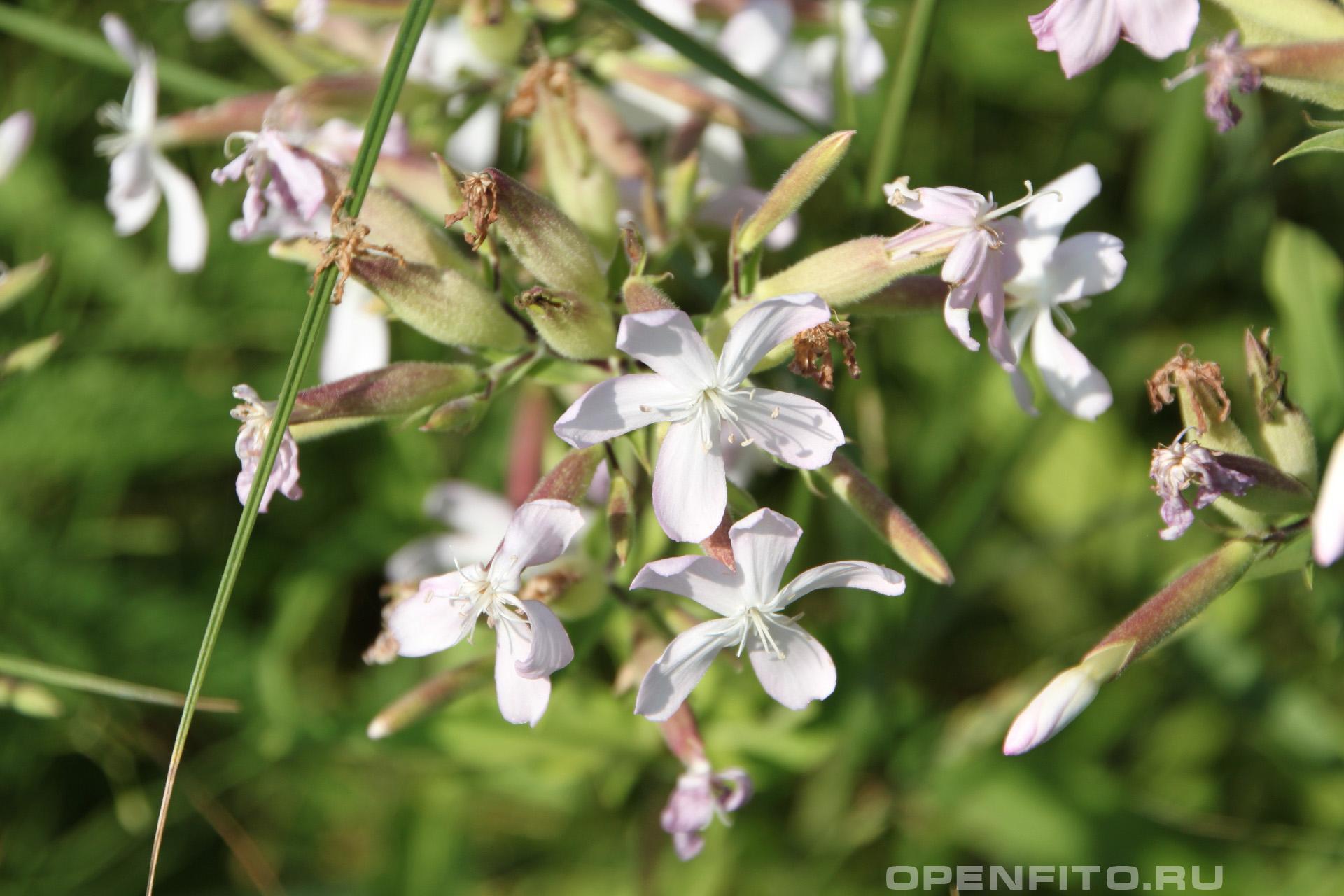 Мыльнянка лекарственная так выглядит соцветие травы