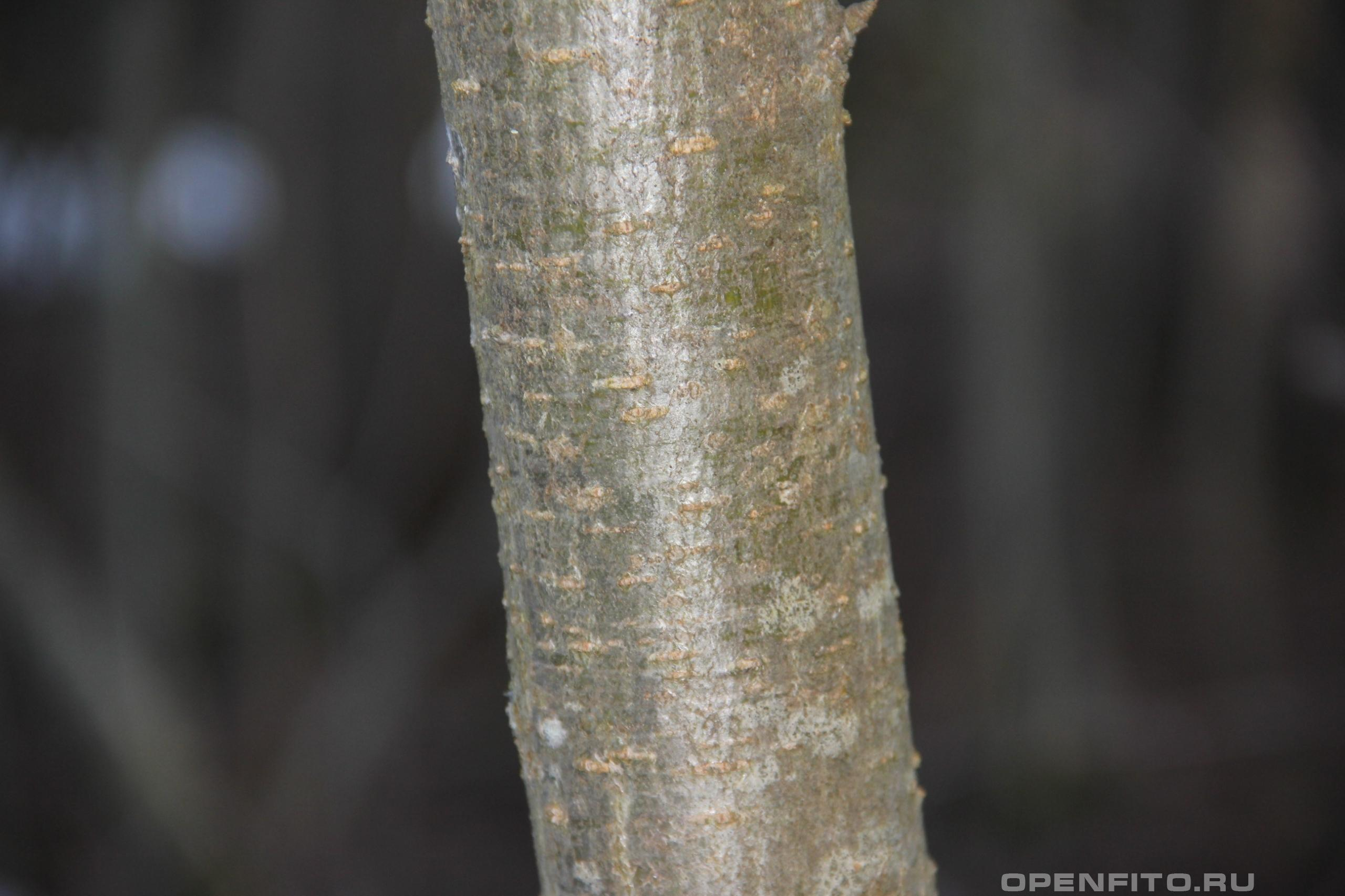 Рябина обыкновенная кора