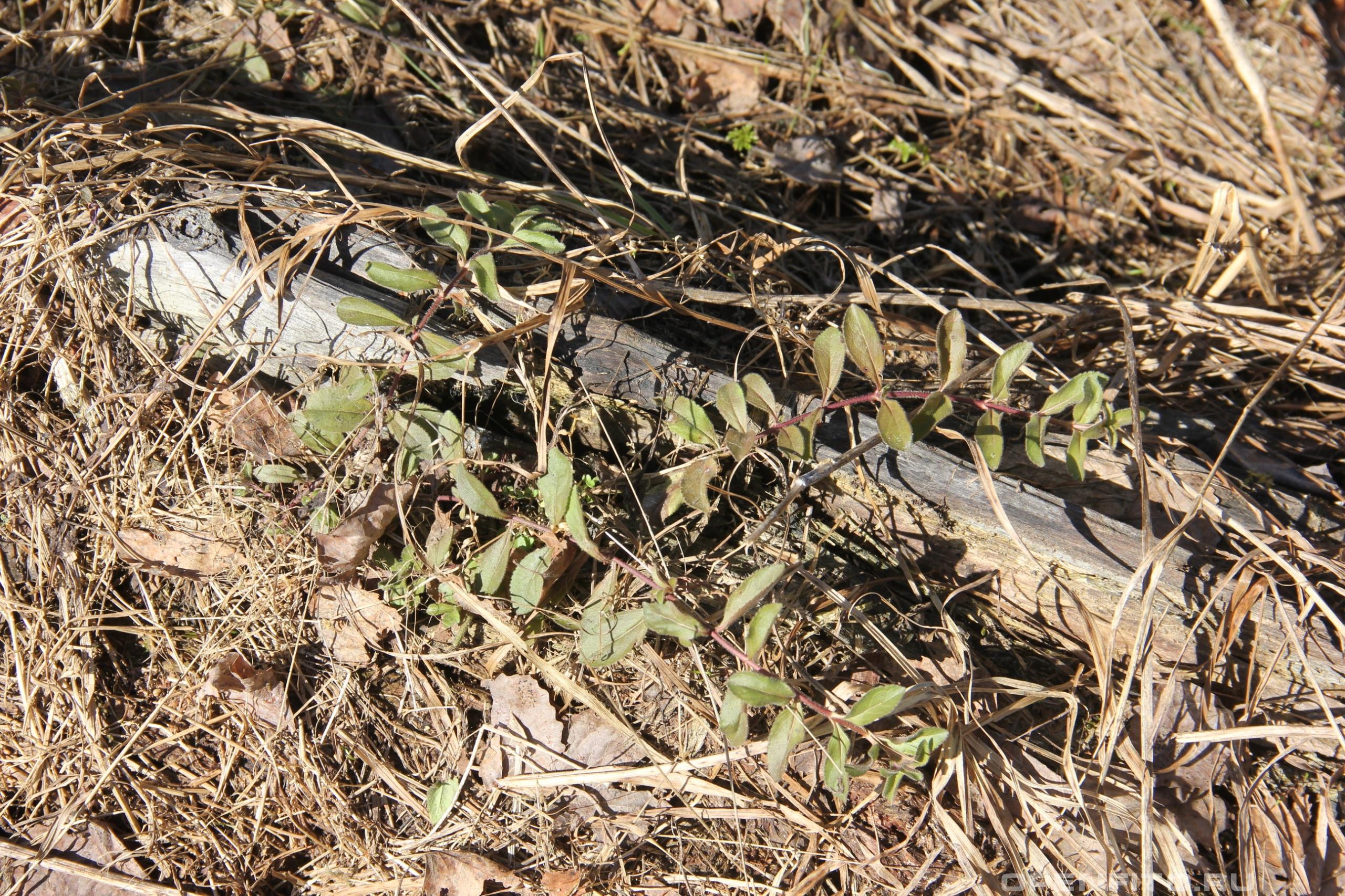 Вероника лекарственная растение после зимы