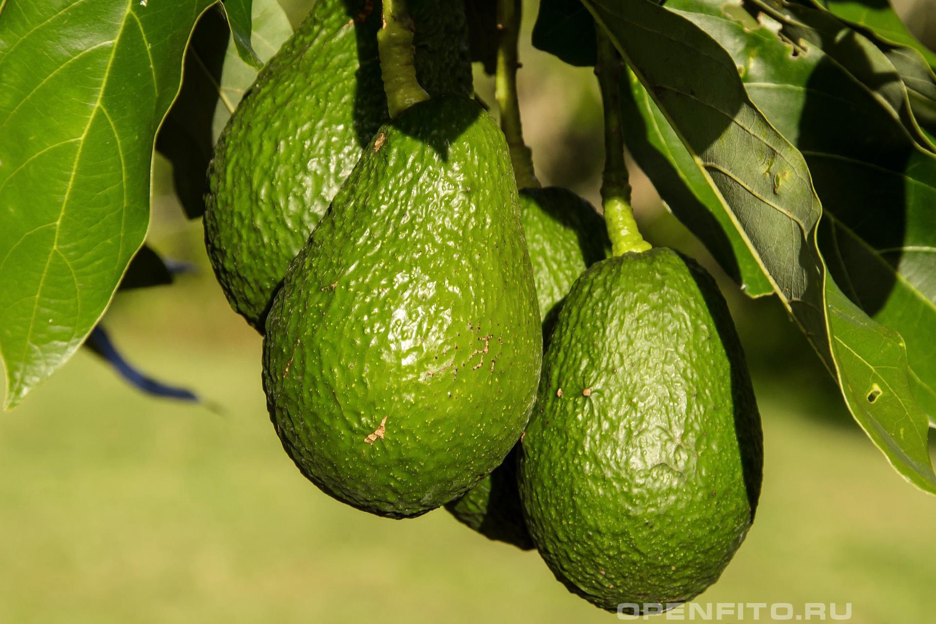 Персея американская или авокадо