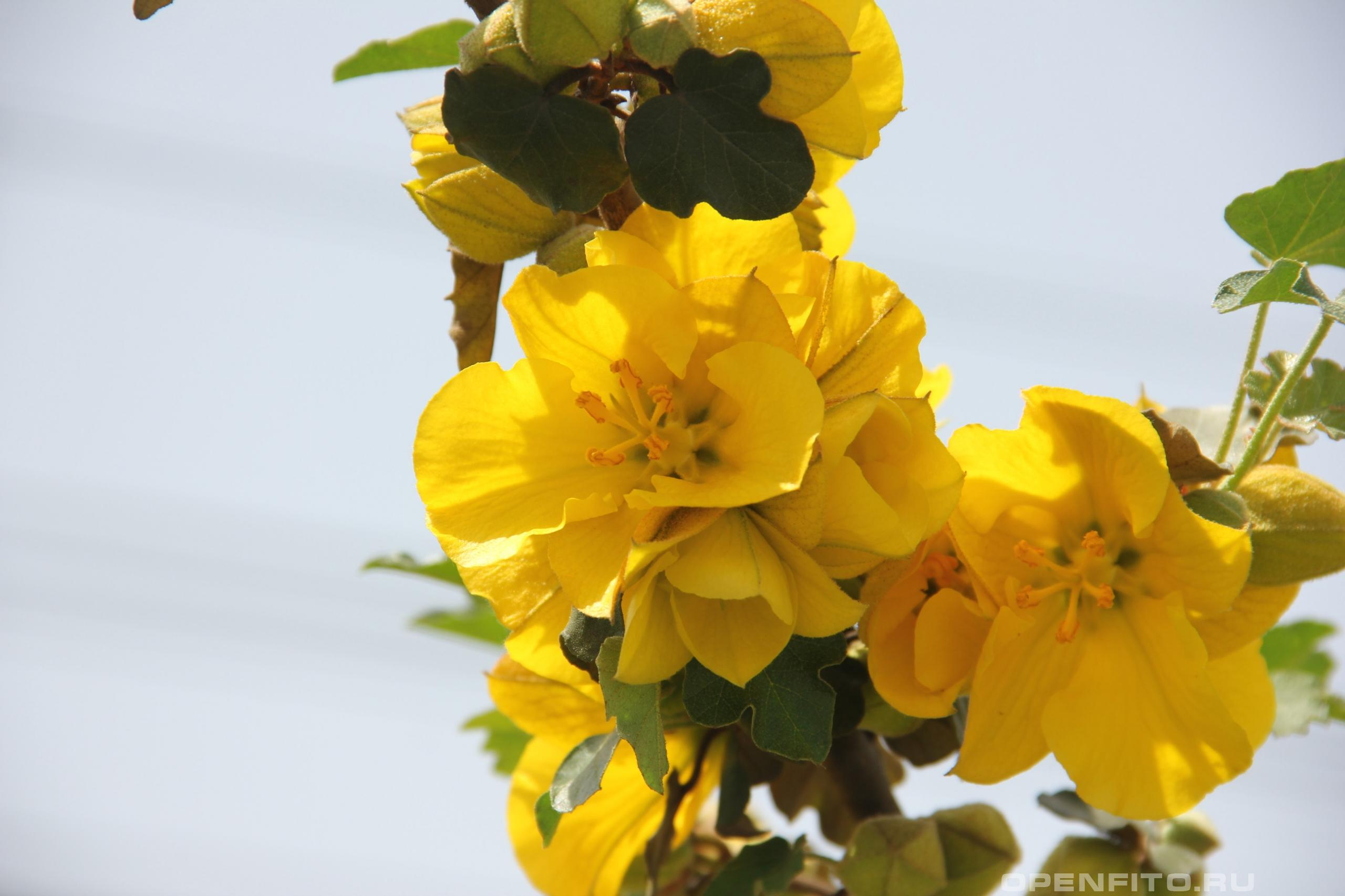 Фремонтодендрон калифорнийский цветы
