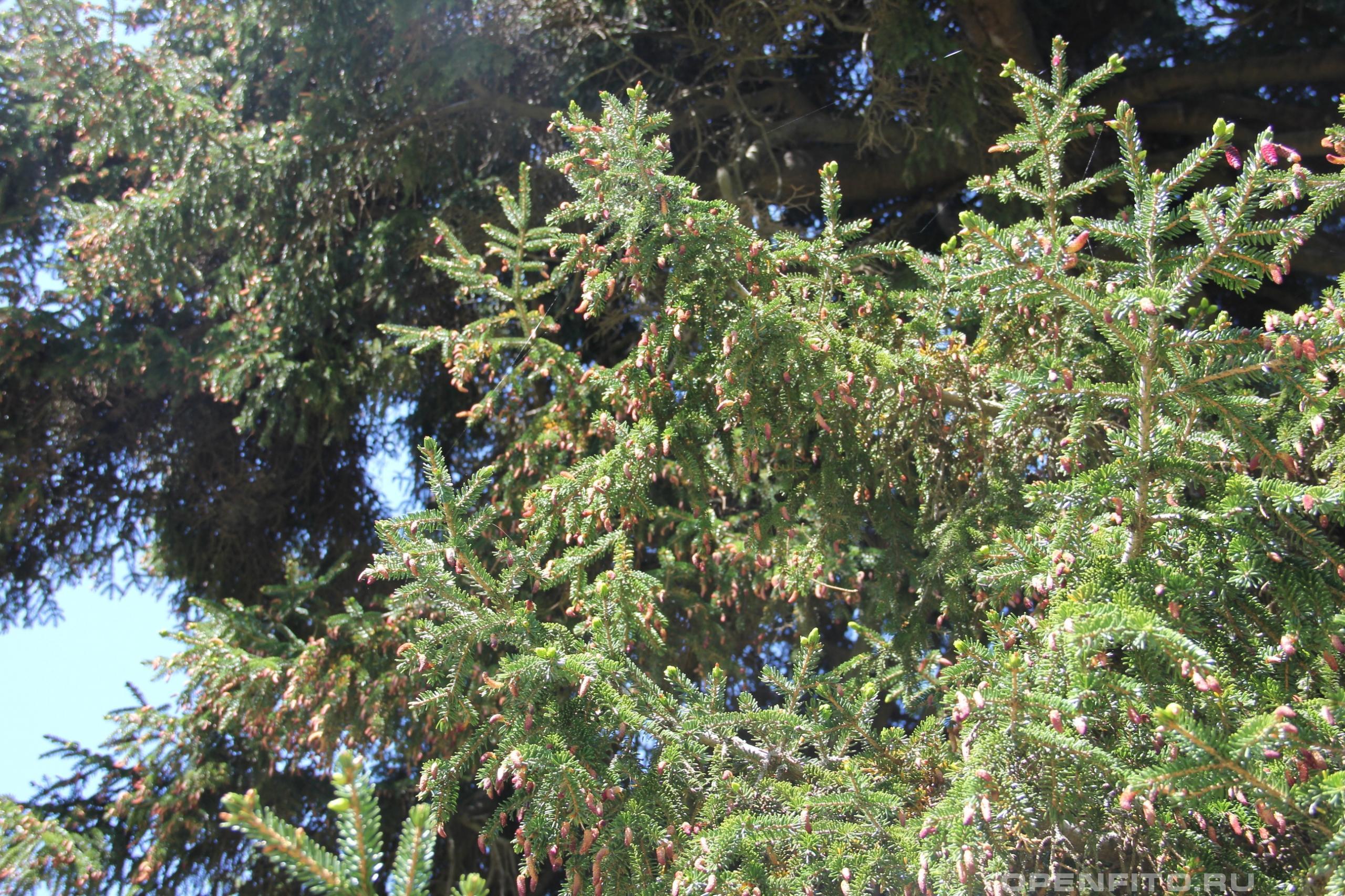 Ель восточная ветка взрослого дерева