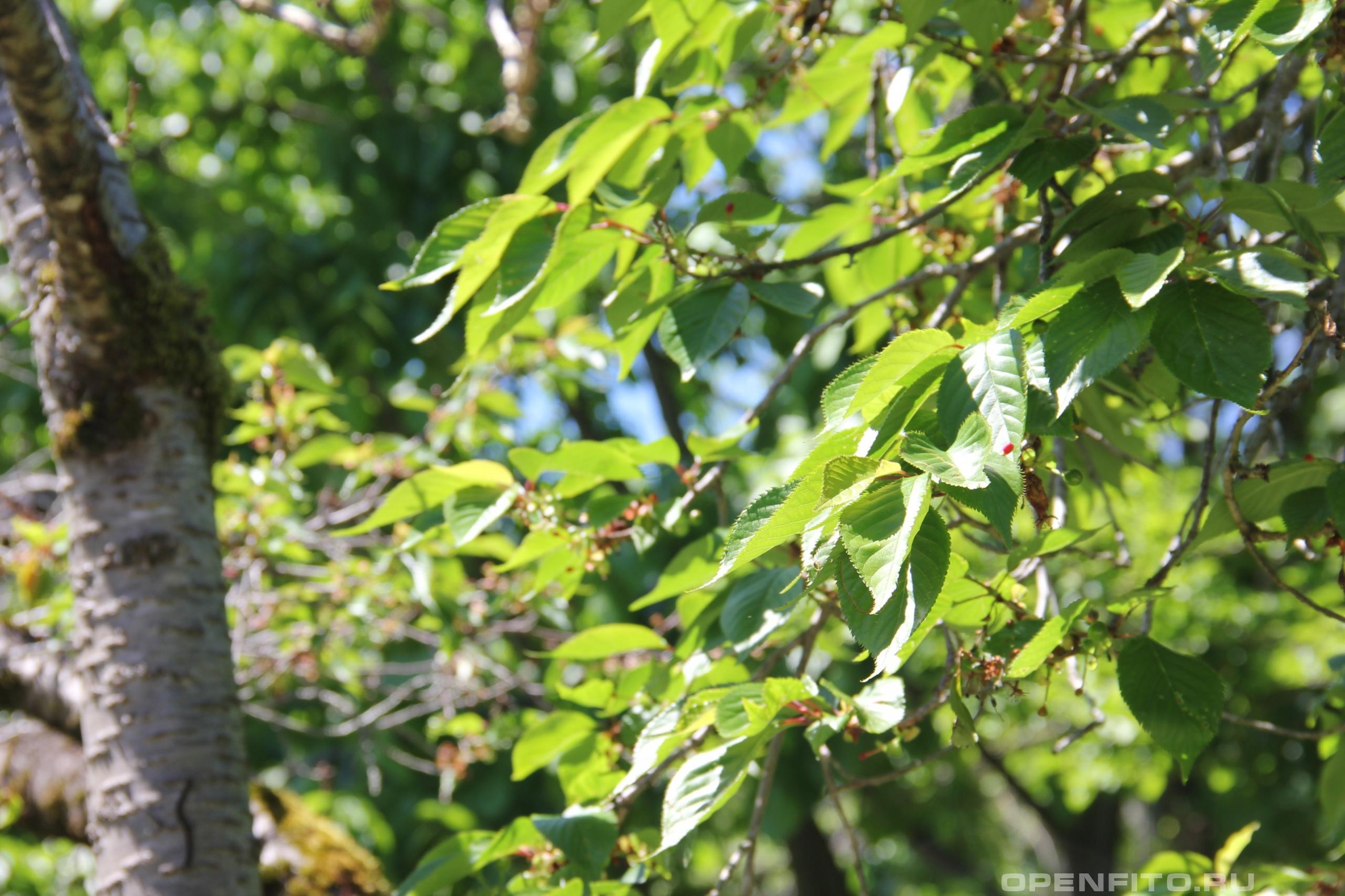 Вишня мелкопильчатая ветка взрослого дерева