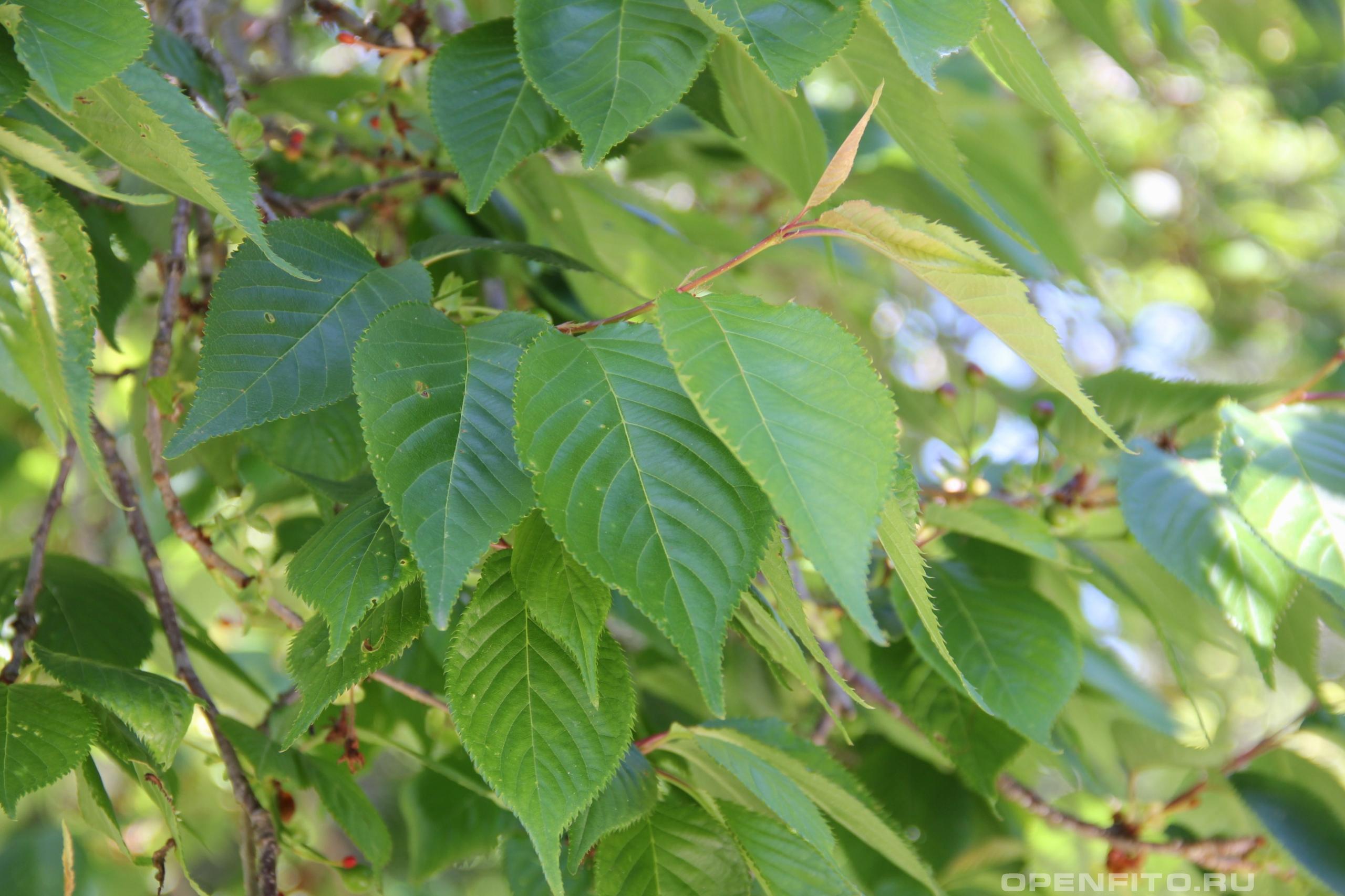Вишня мелкопильчатая лист