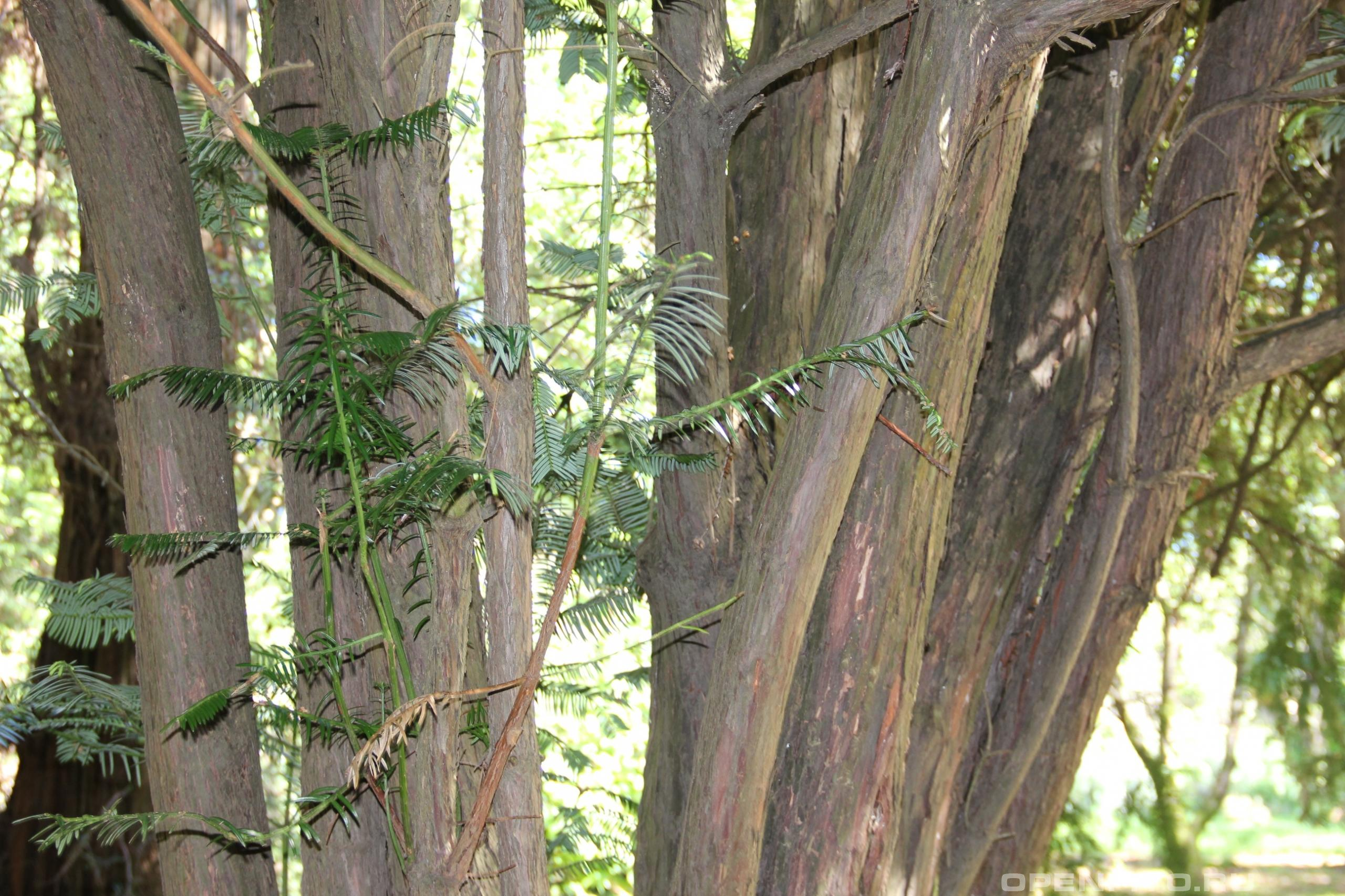 Тисс головчатый стебли и листья