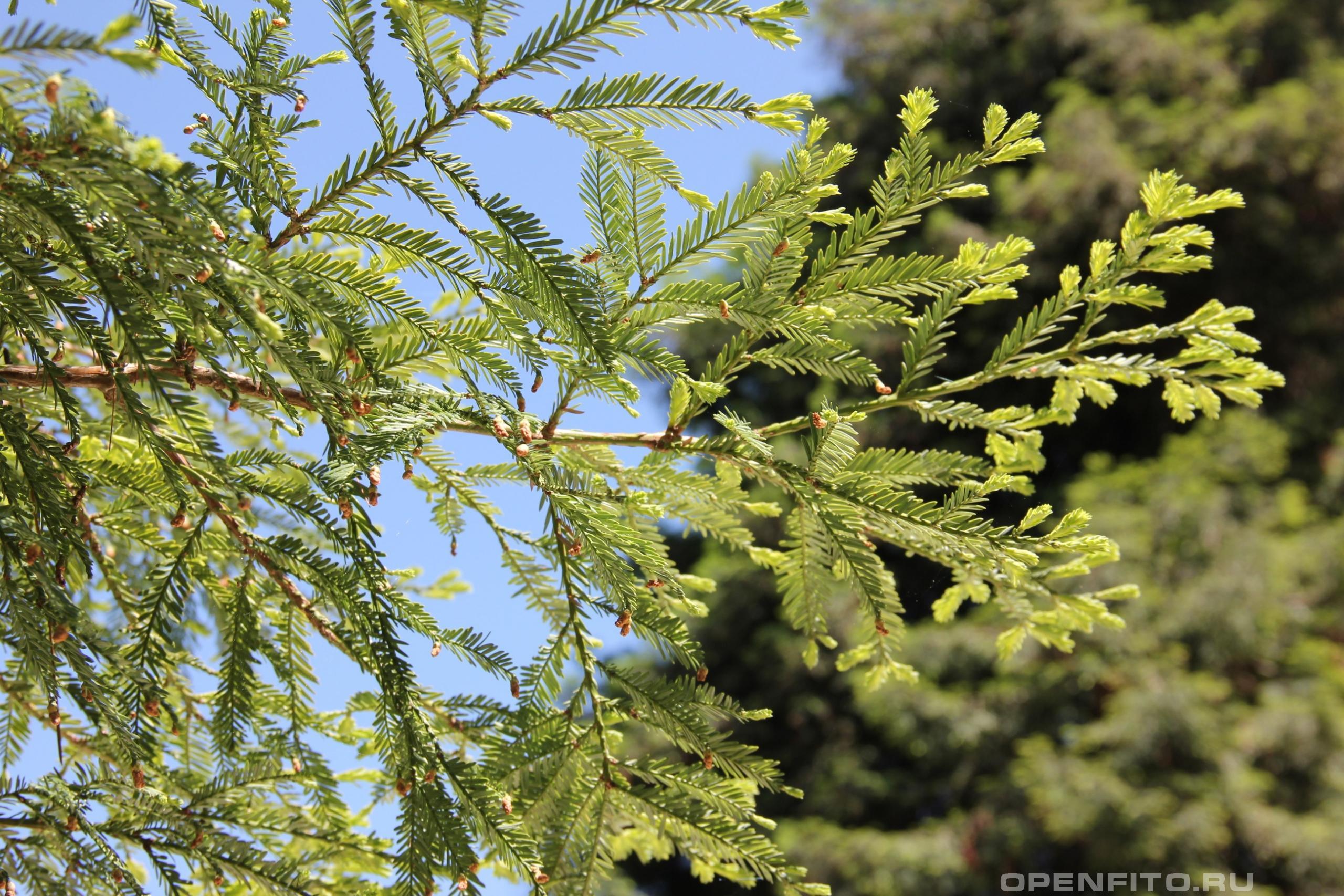Секвойя вечнозеленая ветка и хвоя