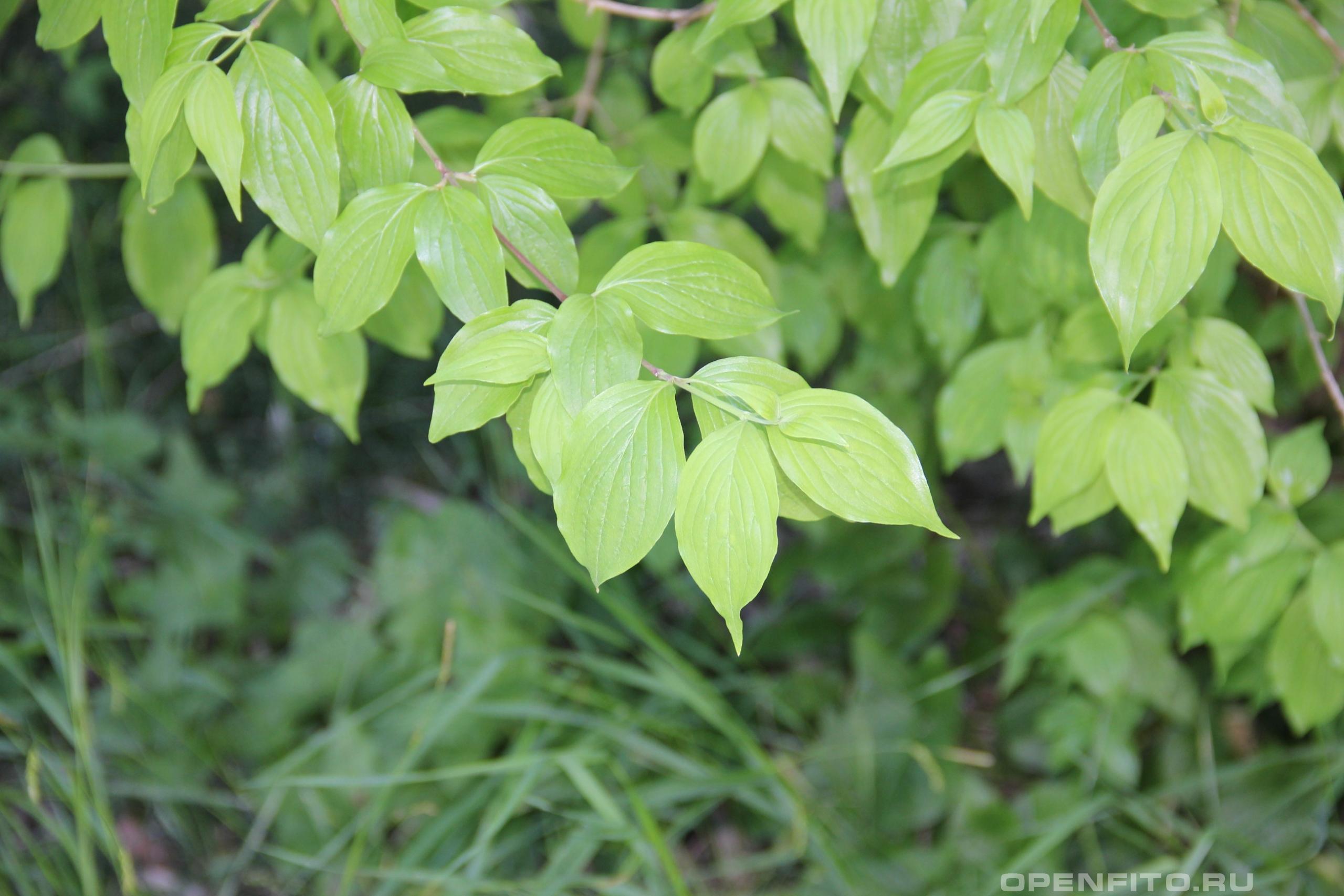Кизил мужской листья