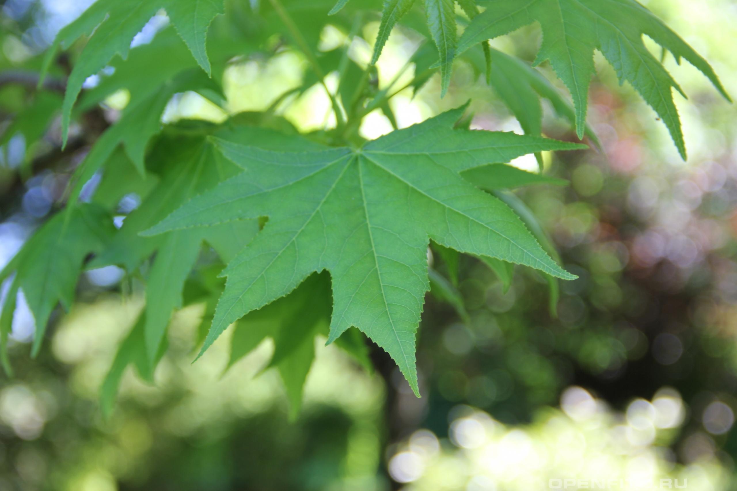 Ликвидамбар смолоносный лист