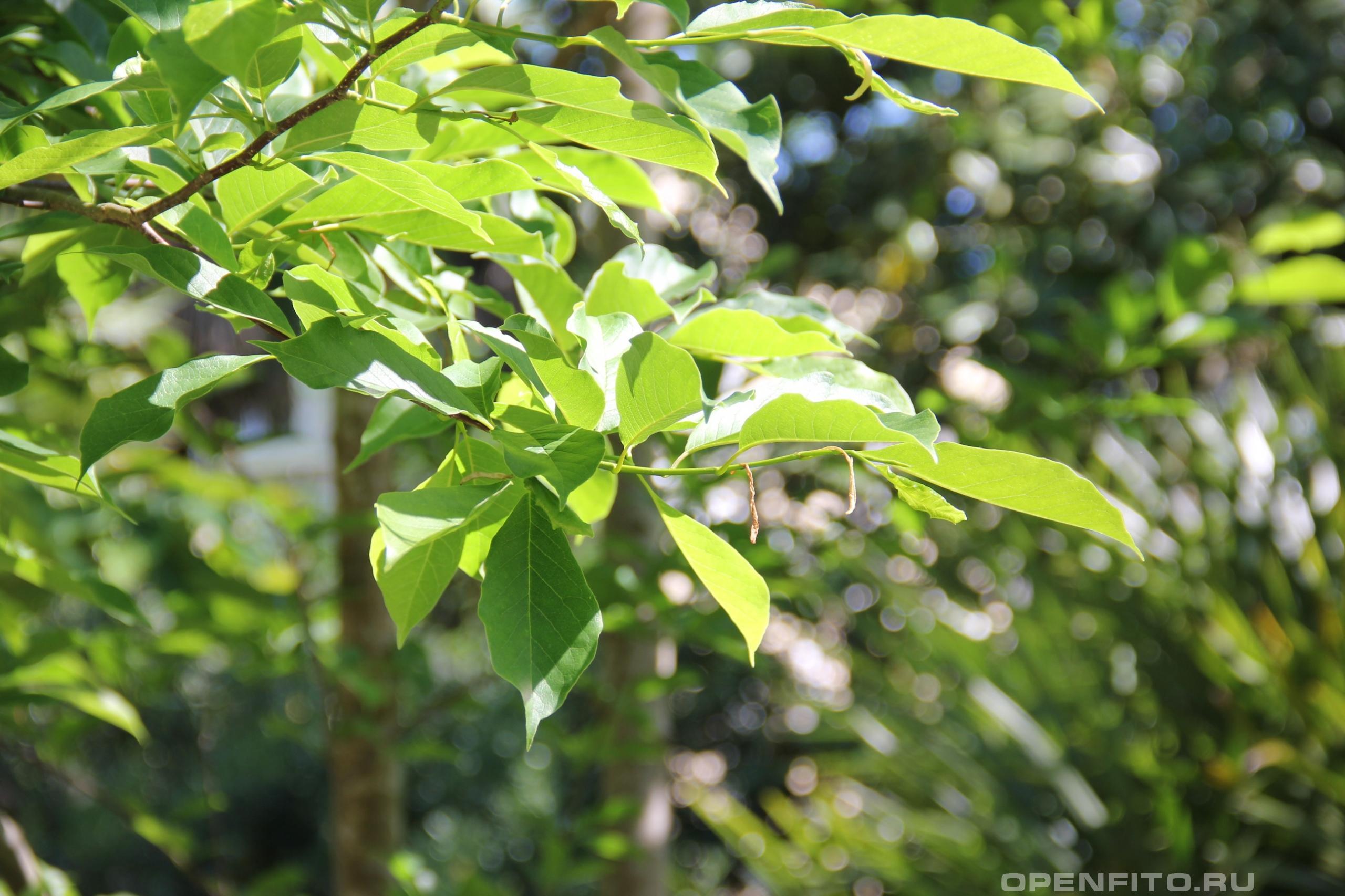 Магнолия кобус листья
