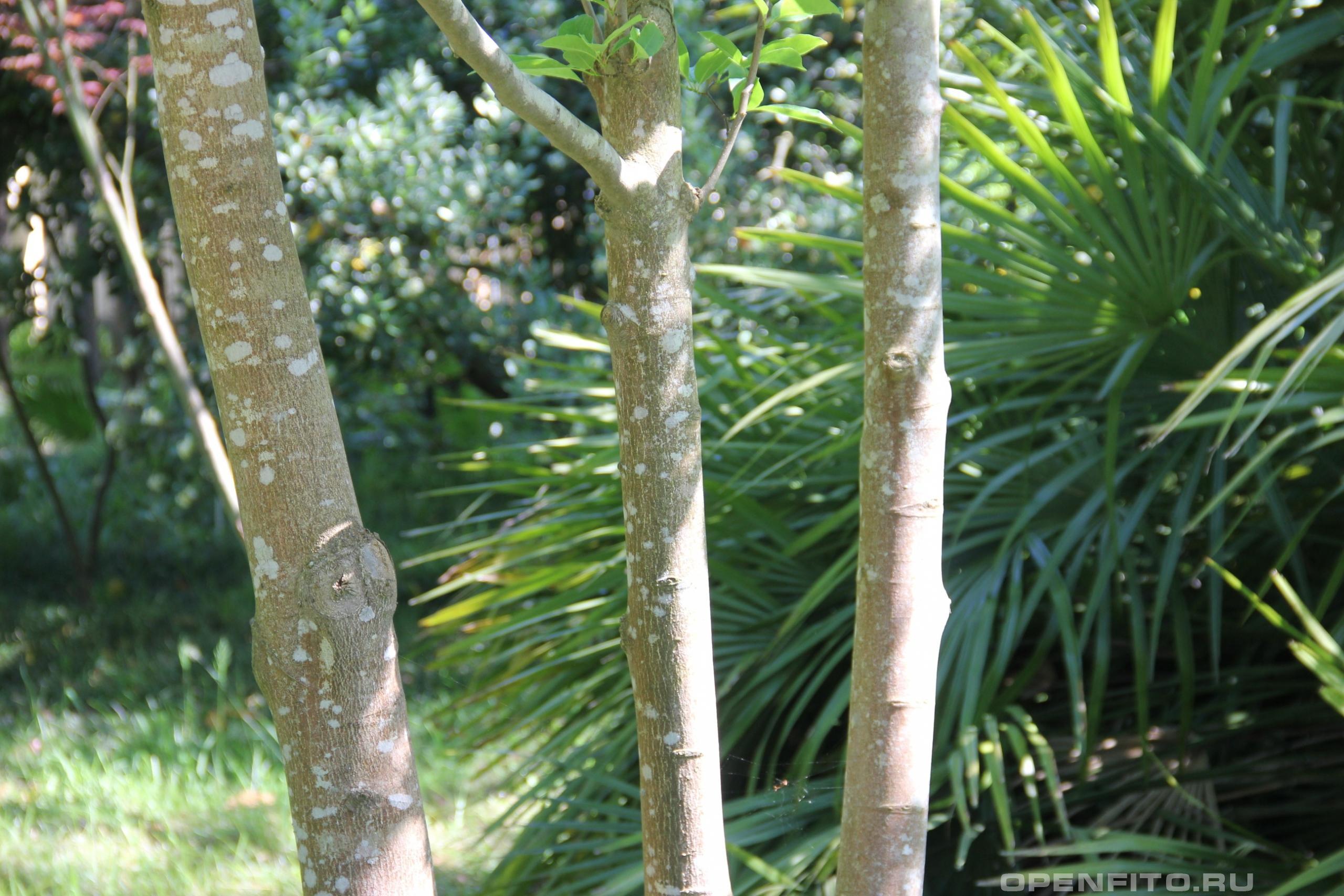 Магнолия кобус кора дерева