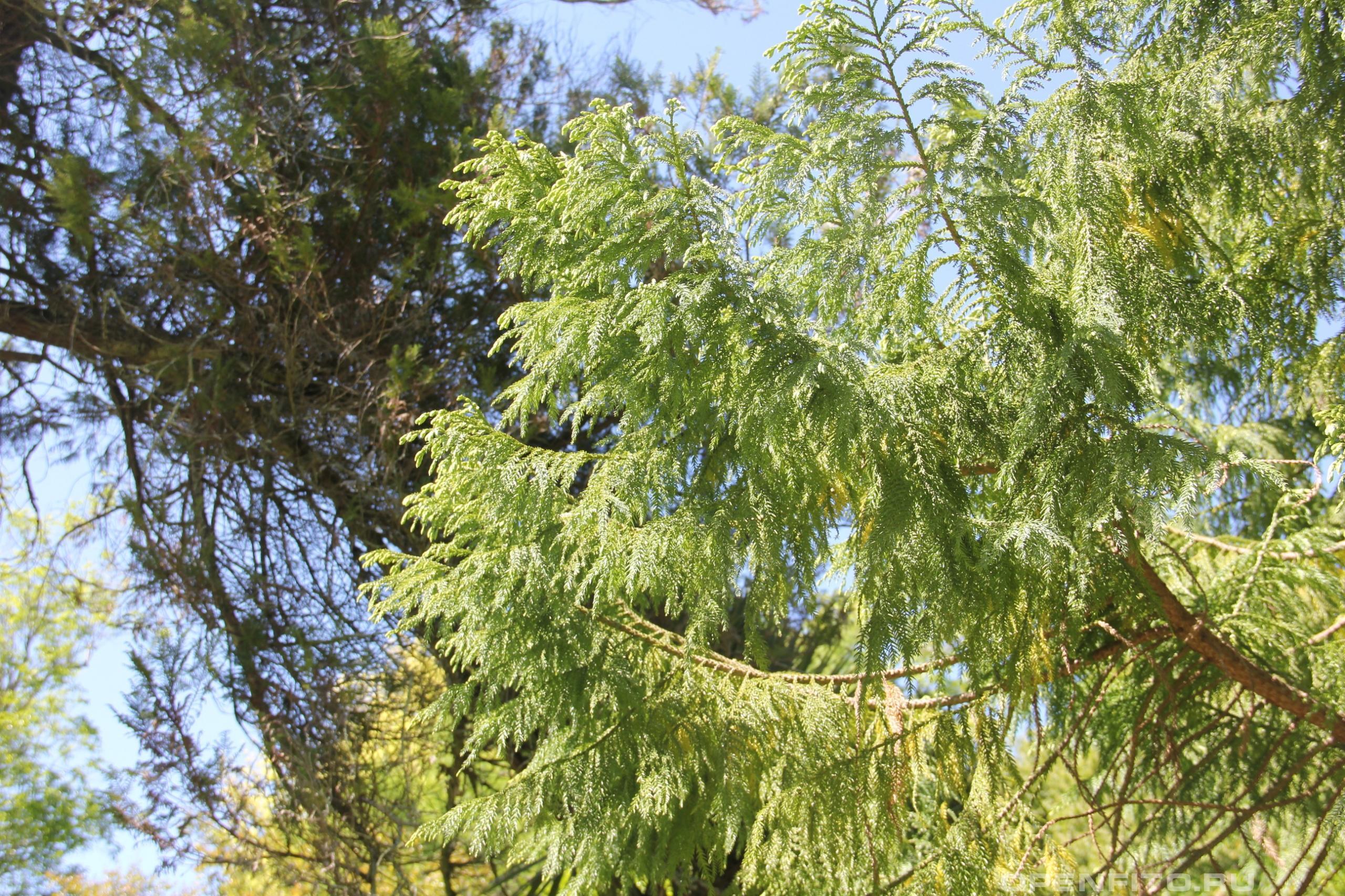 Тайвания криптомериевидная ветка с листьями