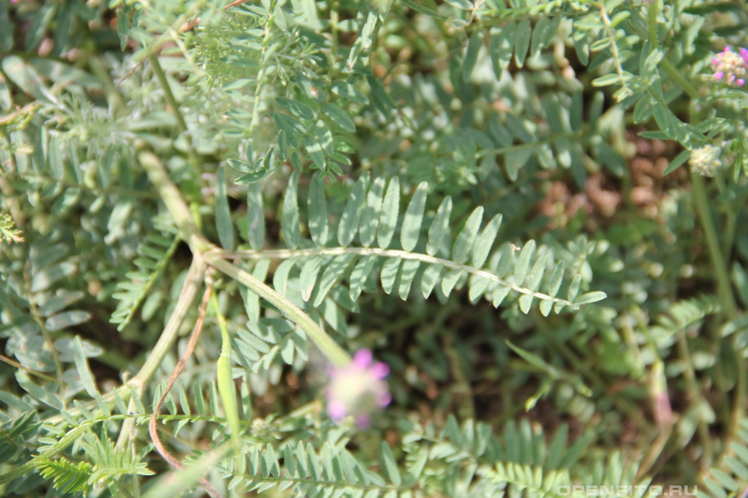 Астрагал гибридный листья