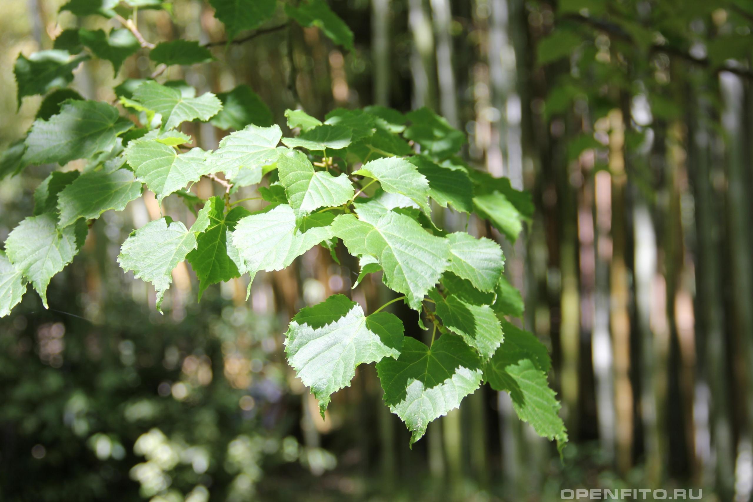 Липа амурская листья