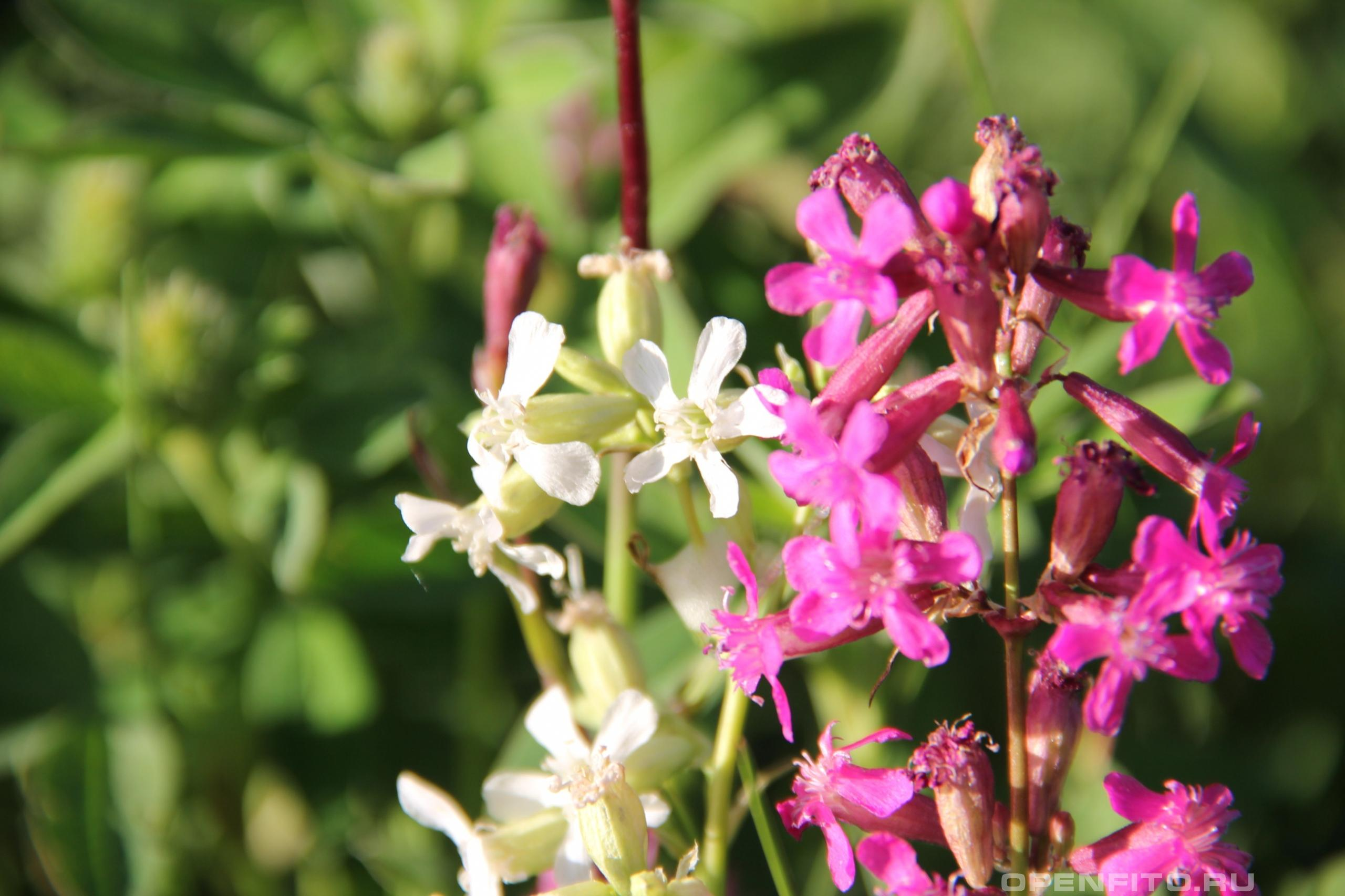 Смолка липкая редкие белые цветки