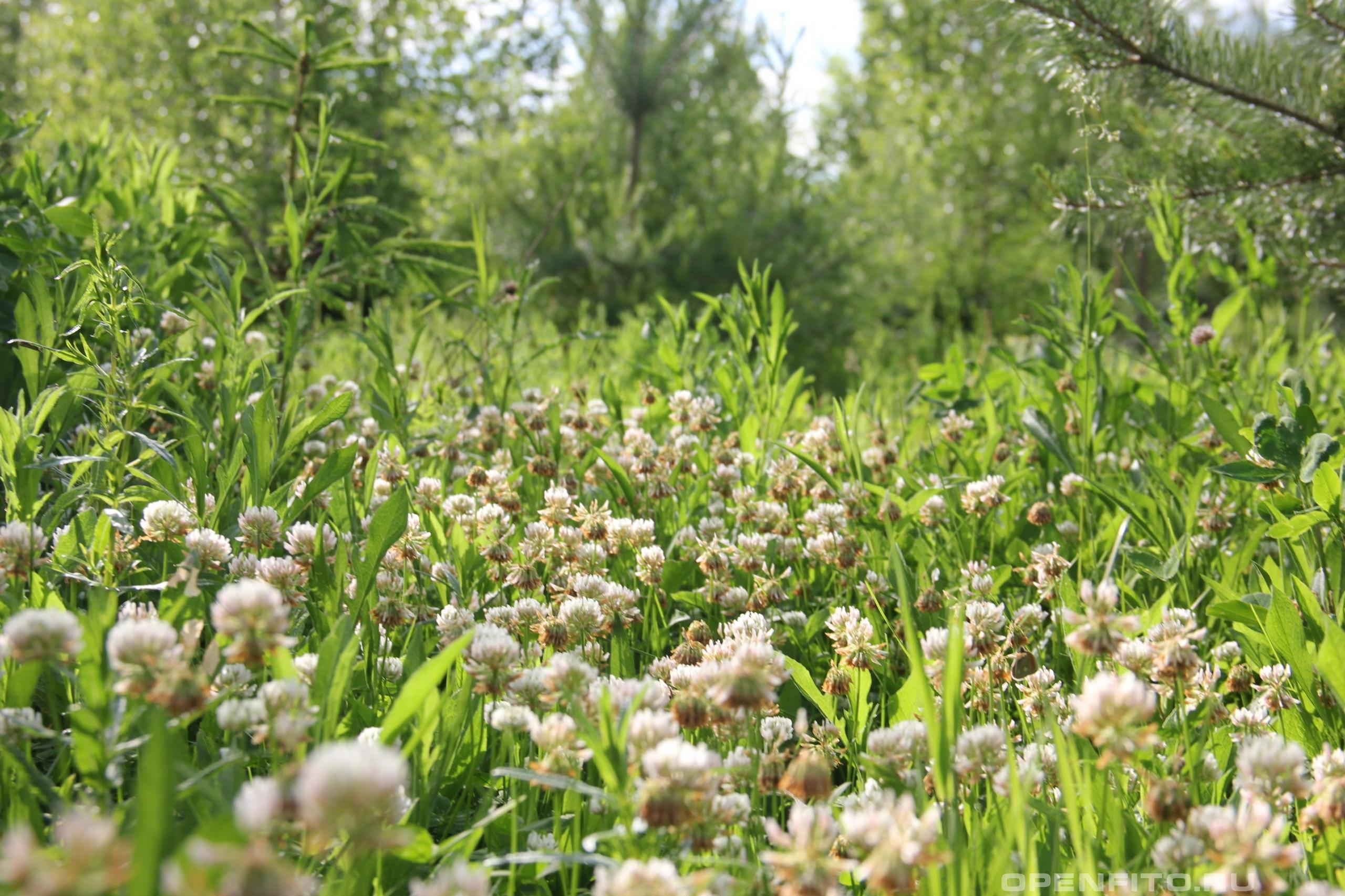 Клевер белый цветки маленького растения