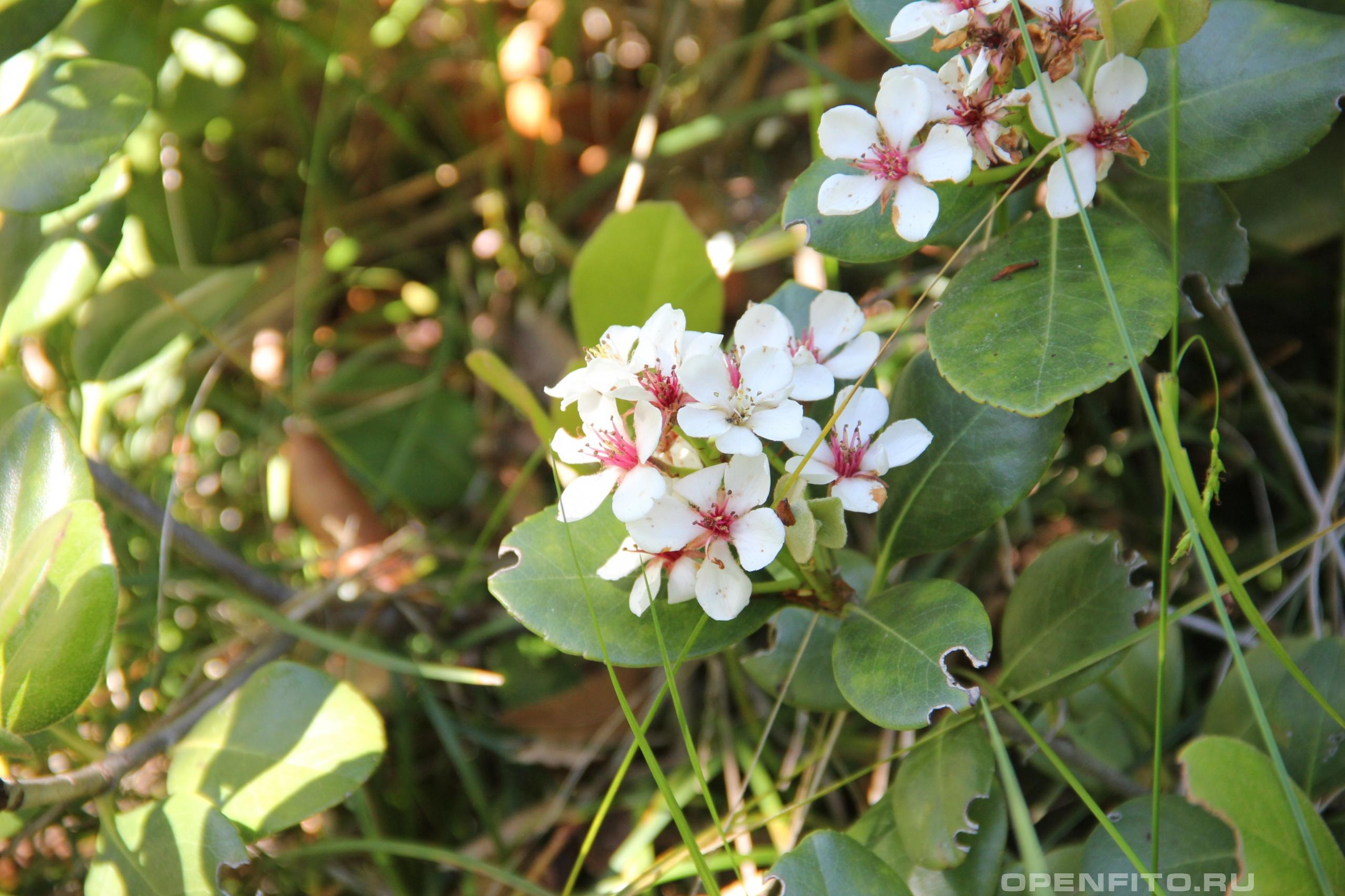 Иглочешуйник зонтичный листья и цветки