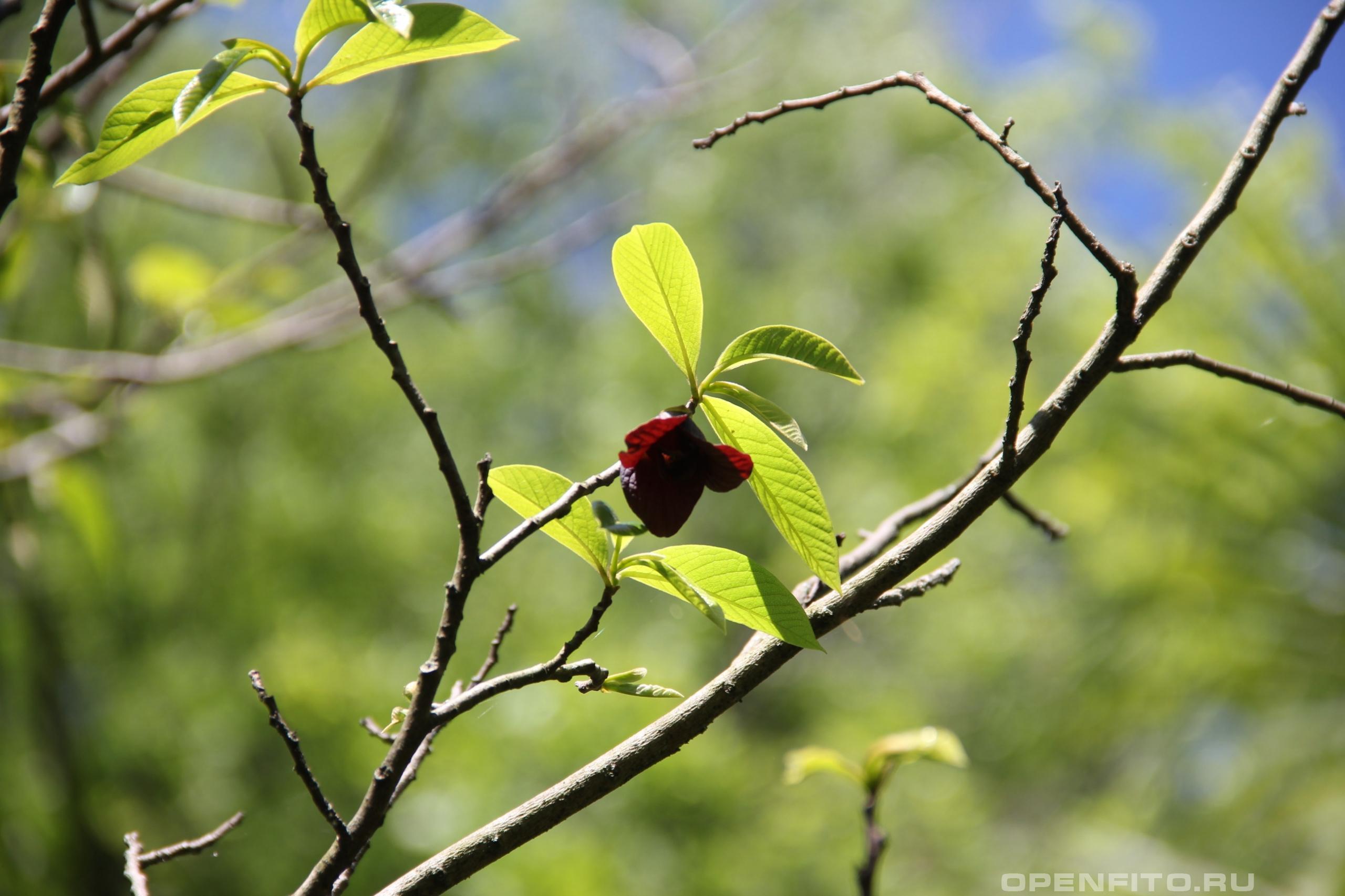 Азимина трехлопастная ветка с цветком