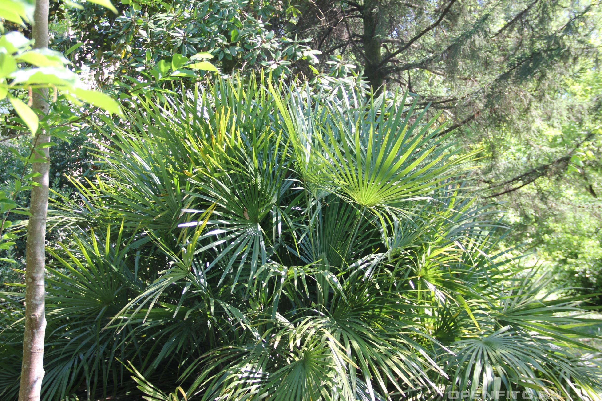 Рапидофиллум ежеиглый морозостойкая пальма