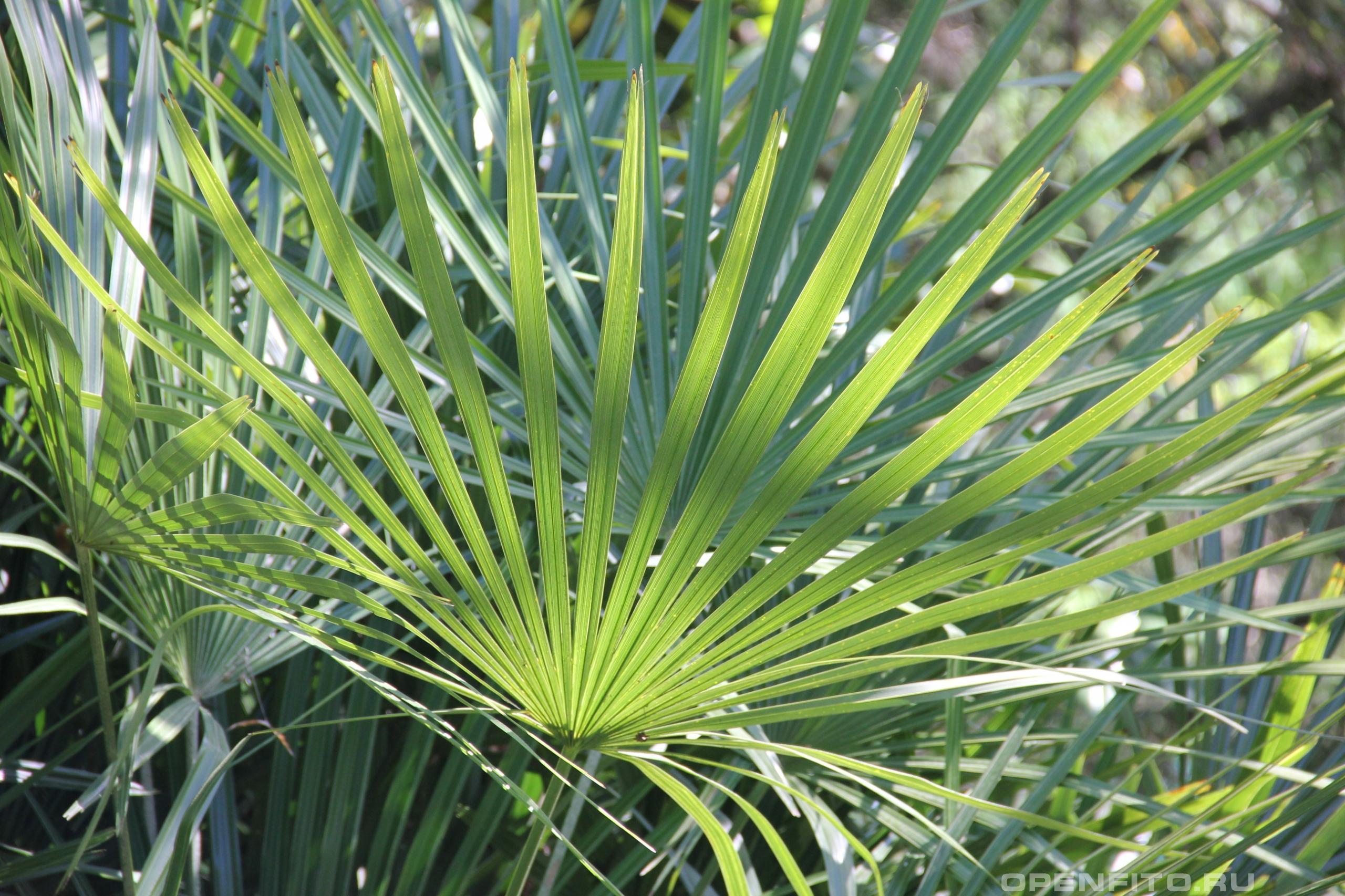 Рапидофиллум ежеиглый листья