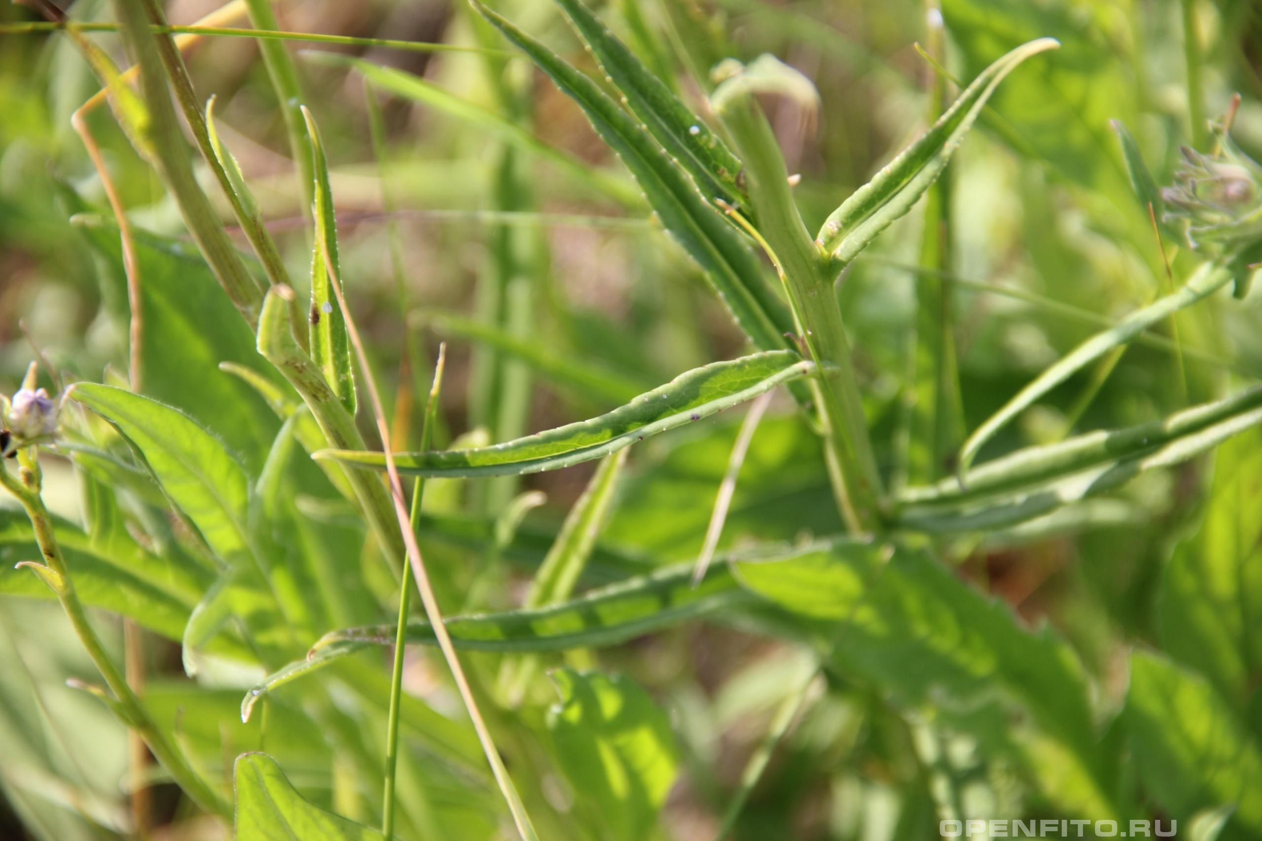 Колокольчик персиколистный лист