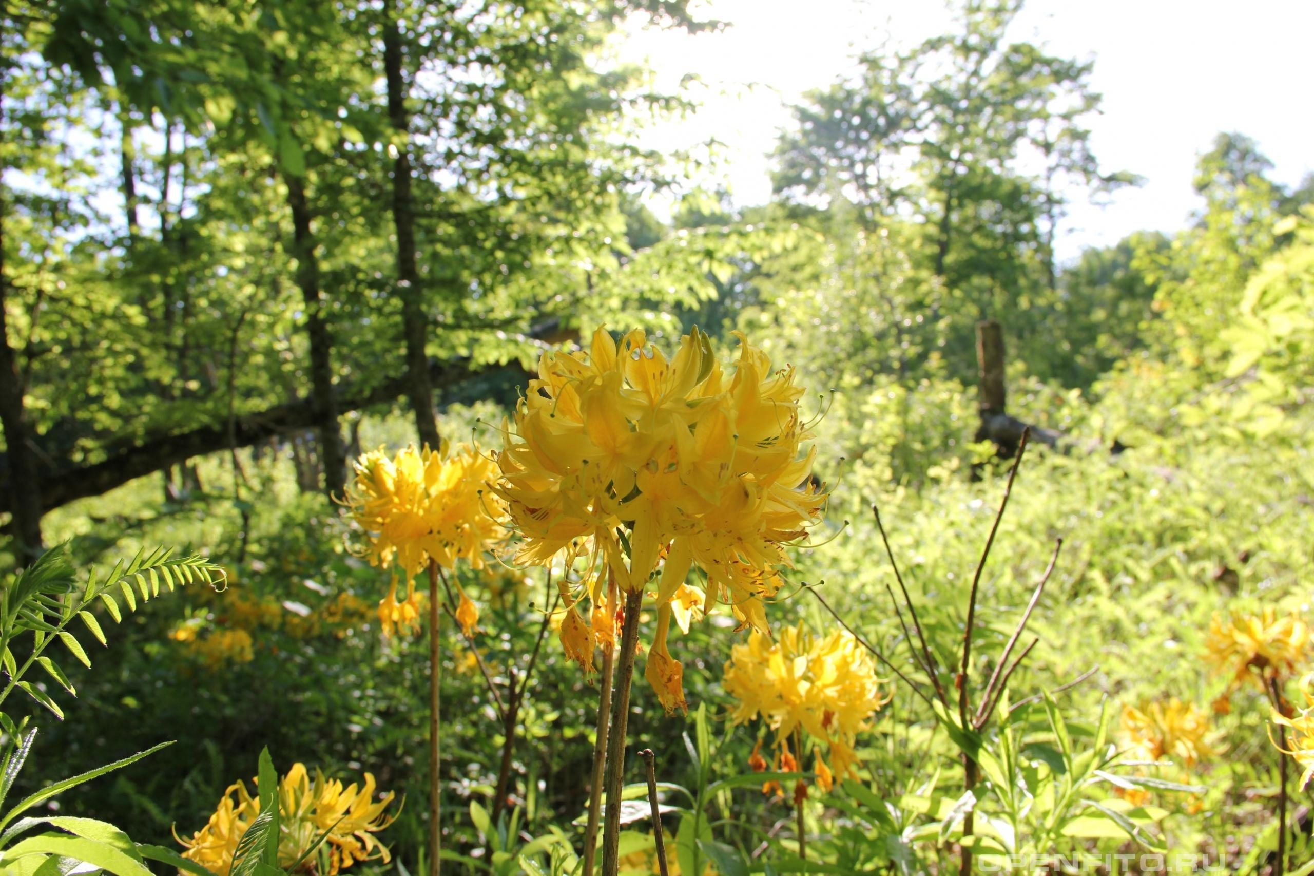 Рододендрон желтый соцветие