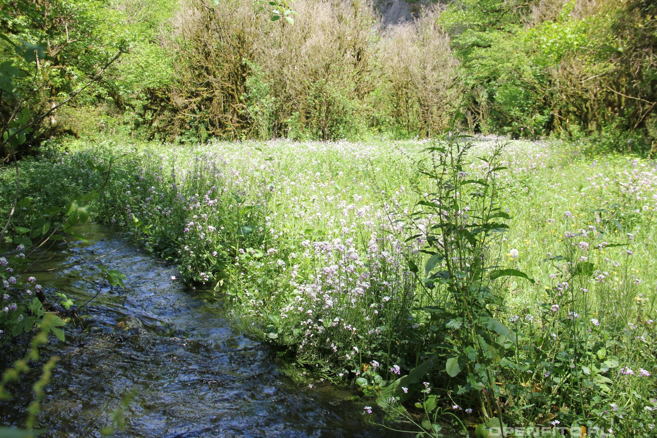 Сердечник Зейдлица заросли растения в предгорьях Кавказа
