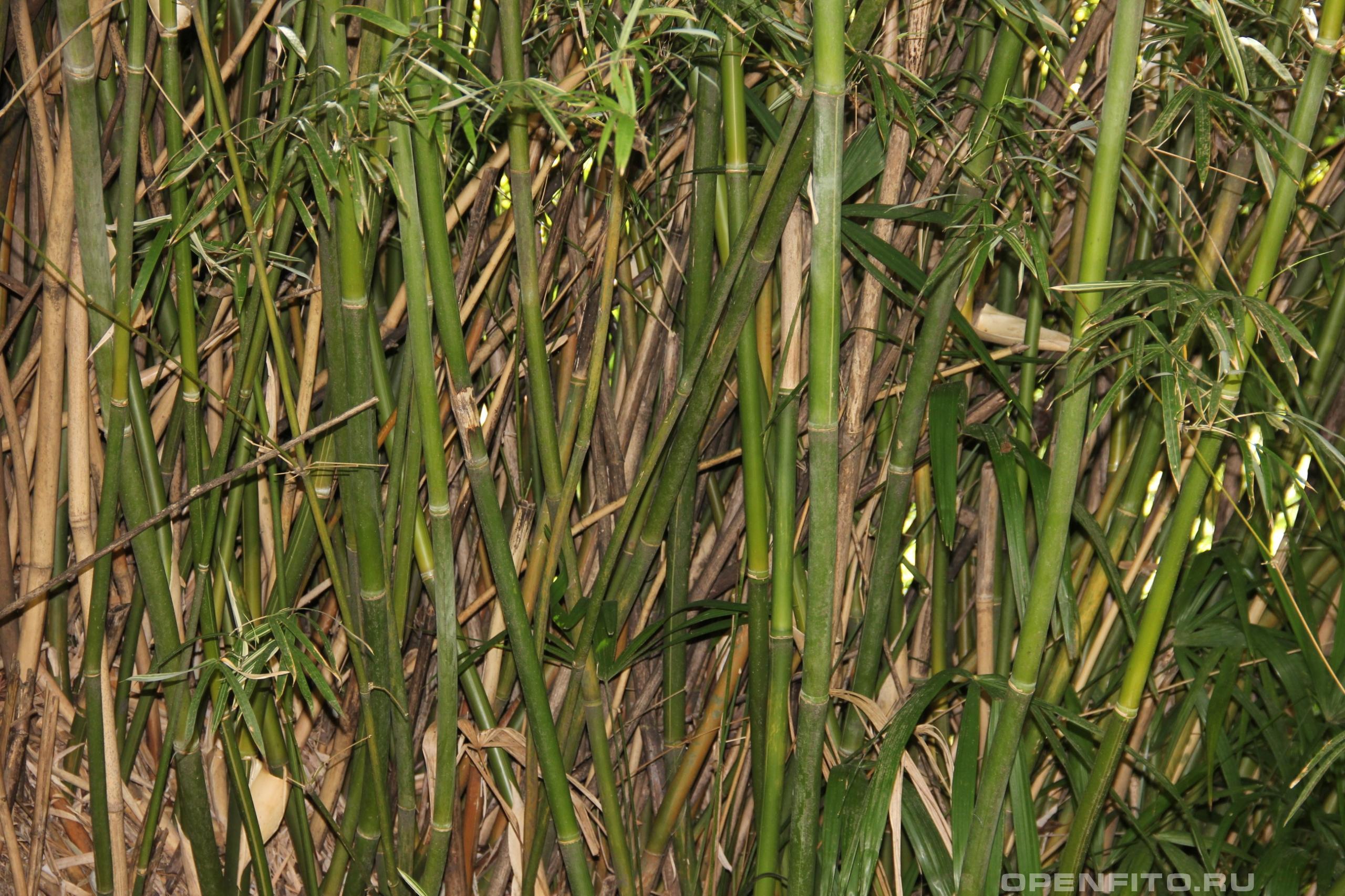 Бамбук сизоватый стебли