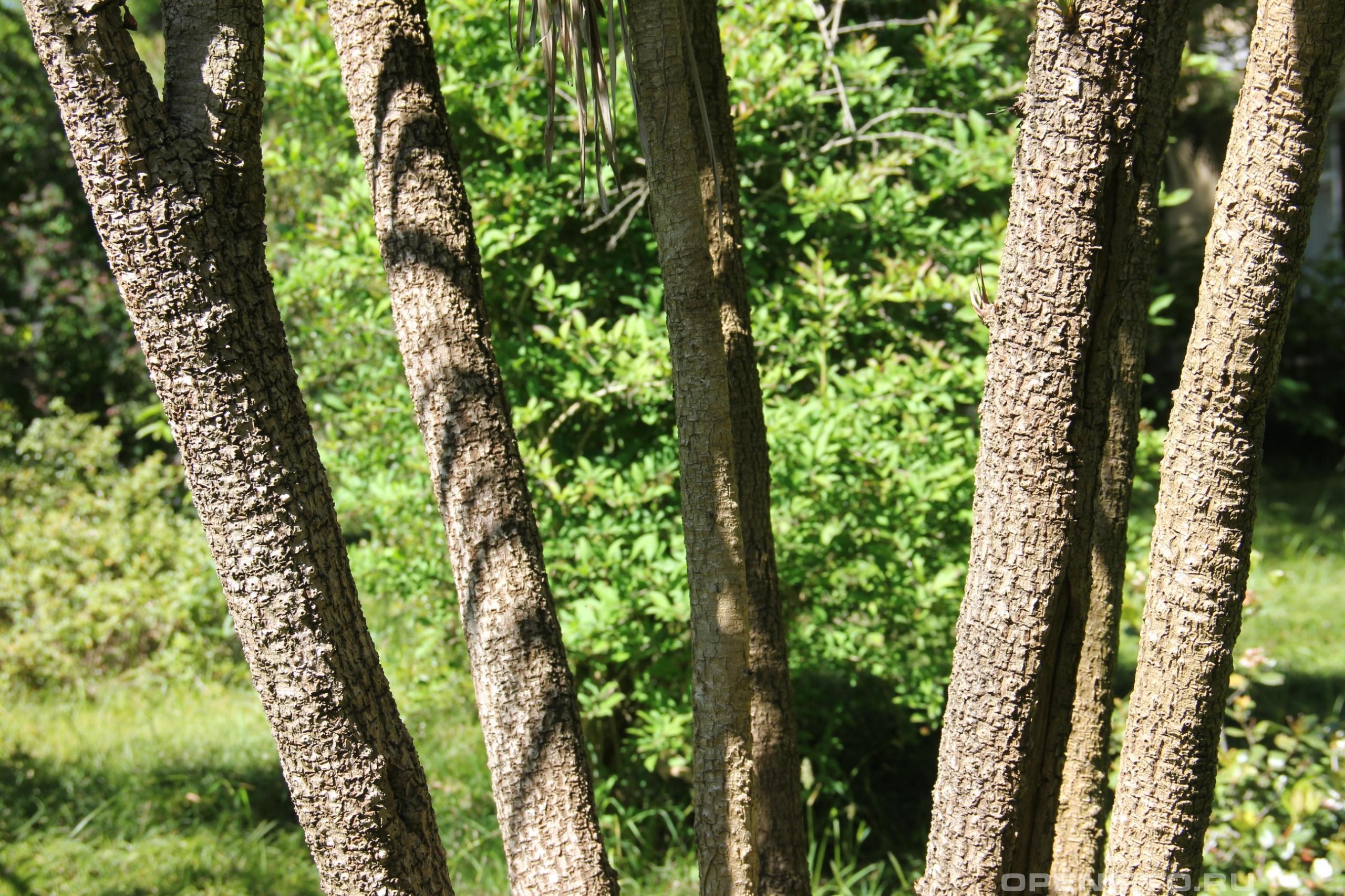 Кордилина южная стебли