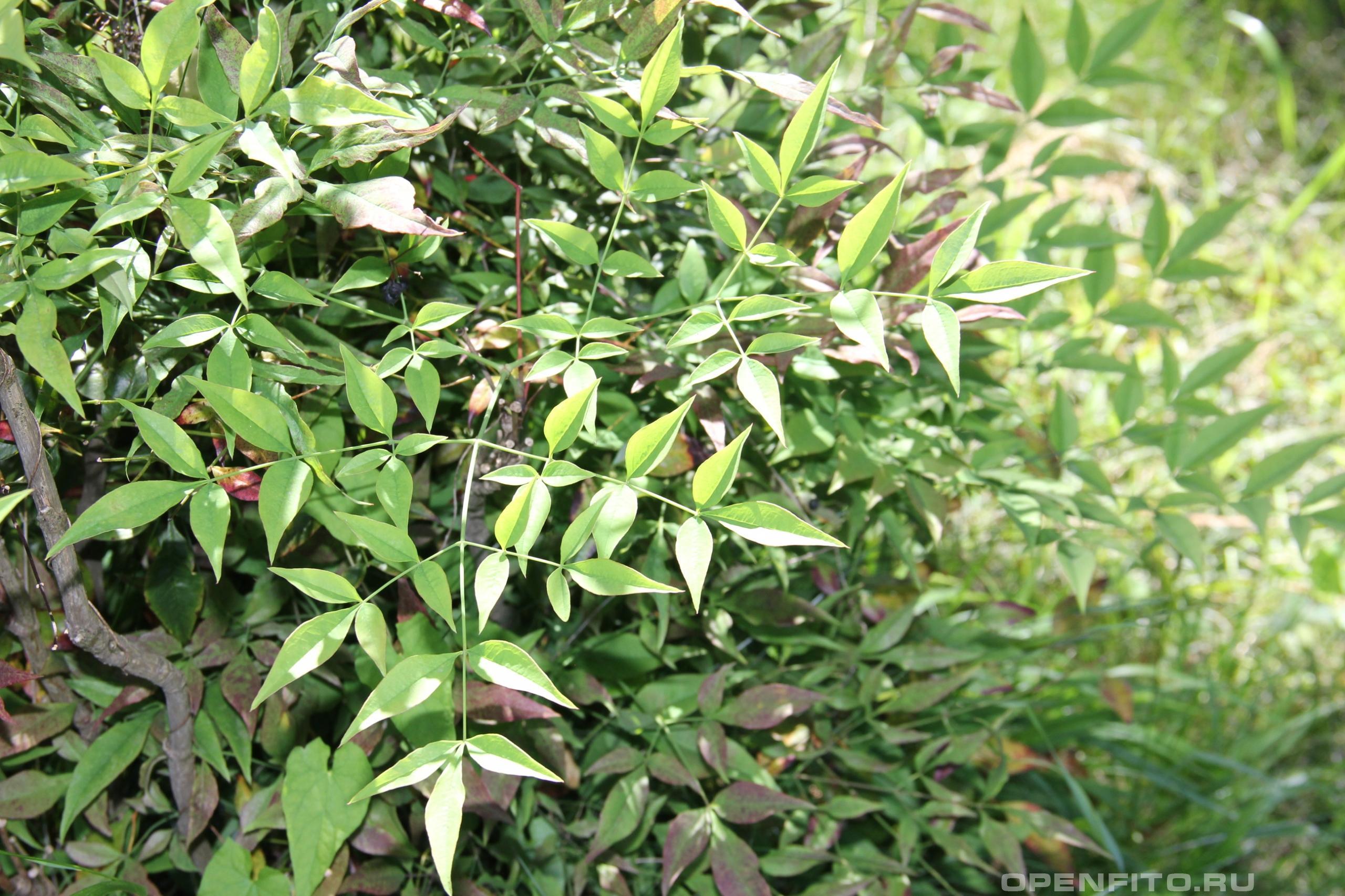 Нандина домашняя листья