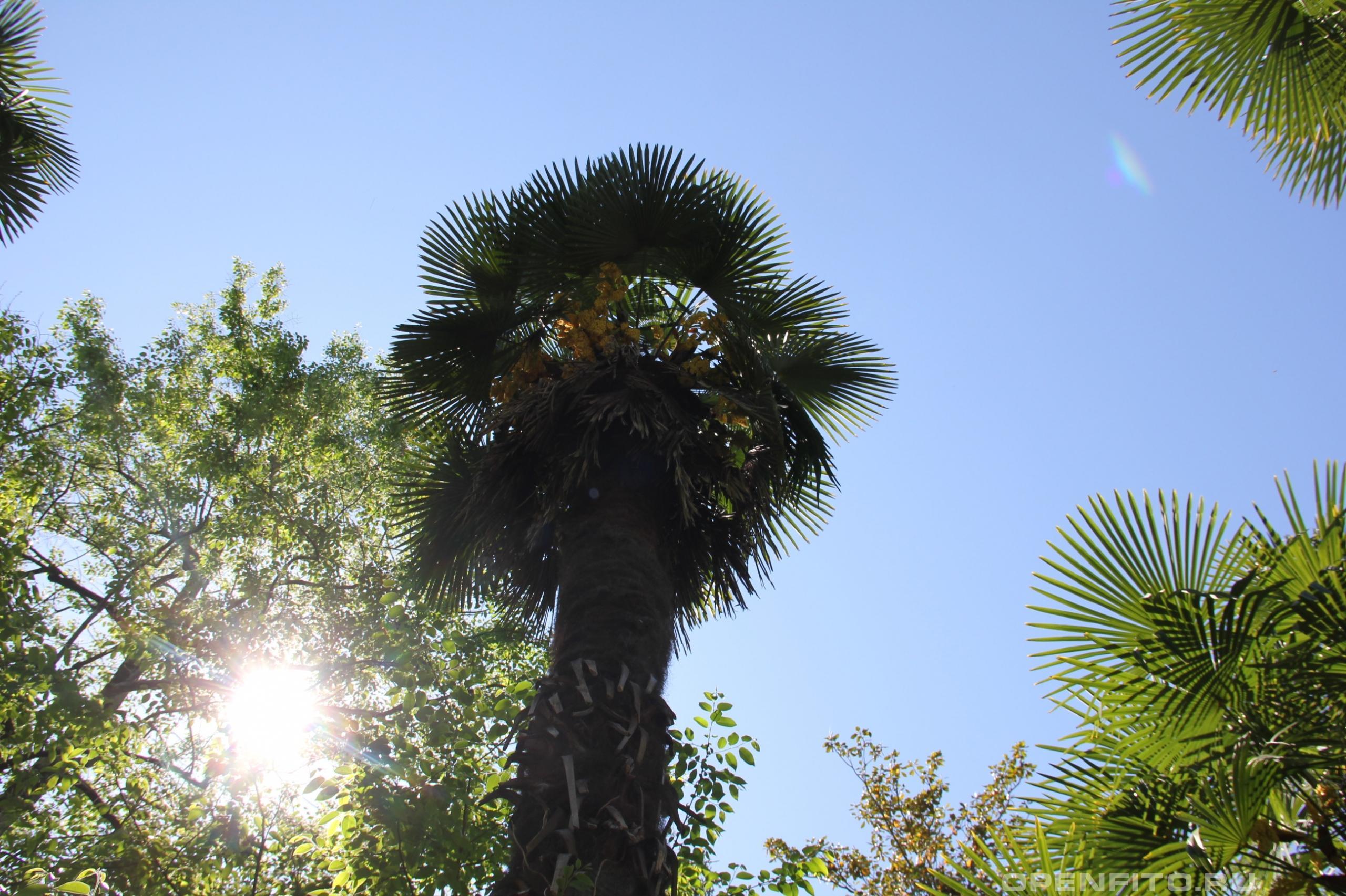 Трахикарпус высокий листья