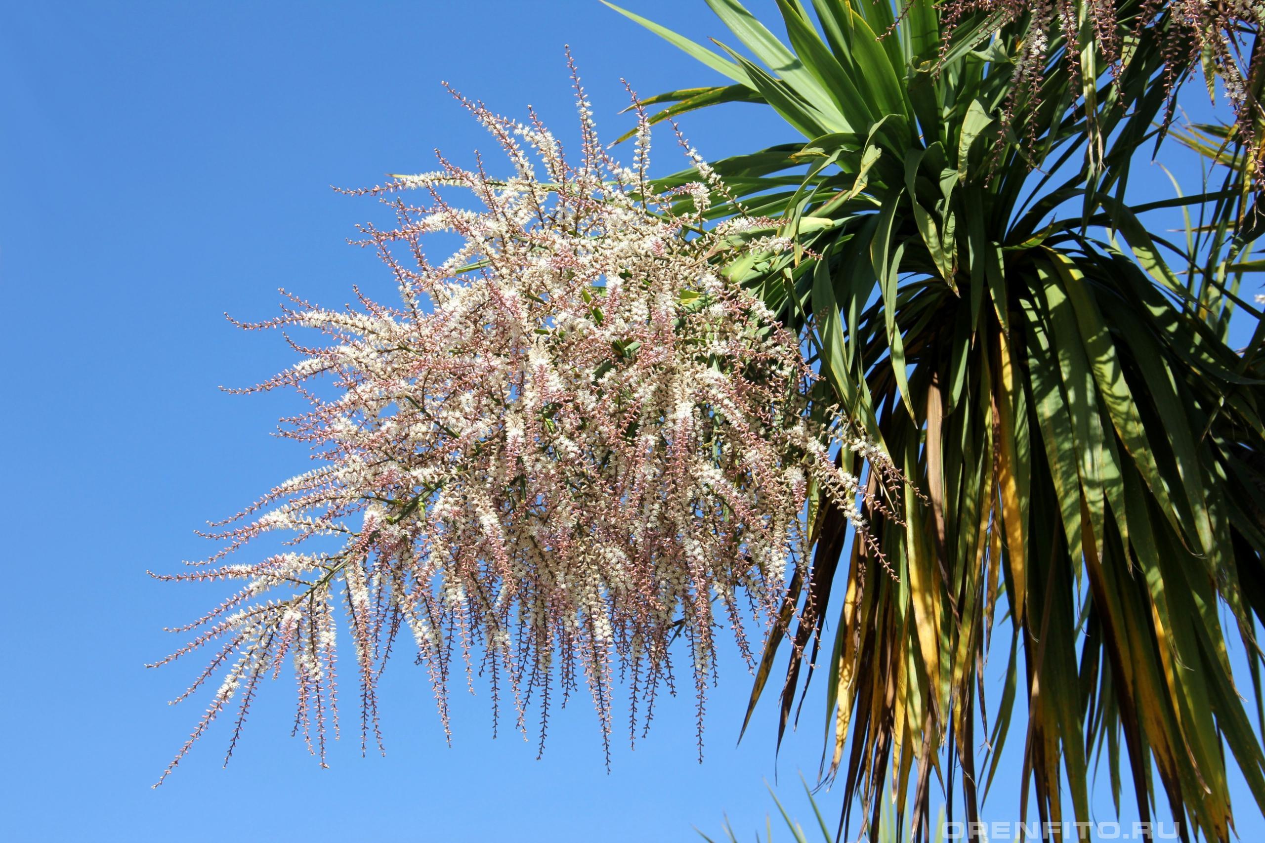 Кордилина южная соцветие пальмы